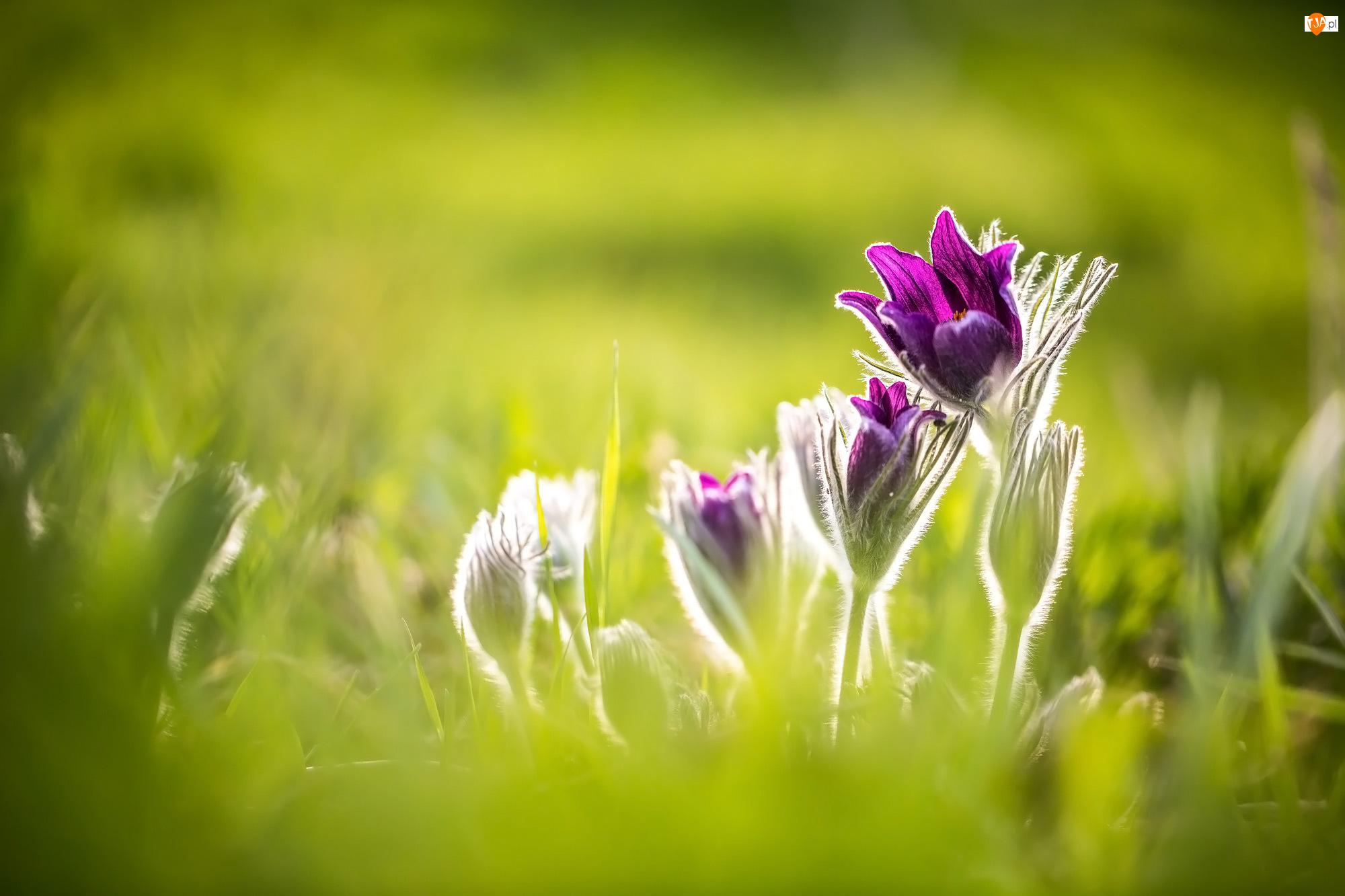 Pąki, Kwiaty, Fioletowe, Sasanki