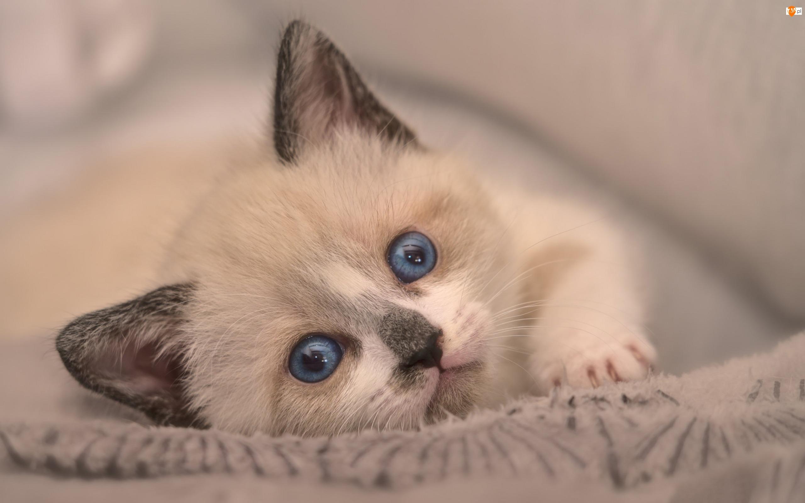 Kot, Oczy, Kotek, Mały, Niebieskie
