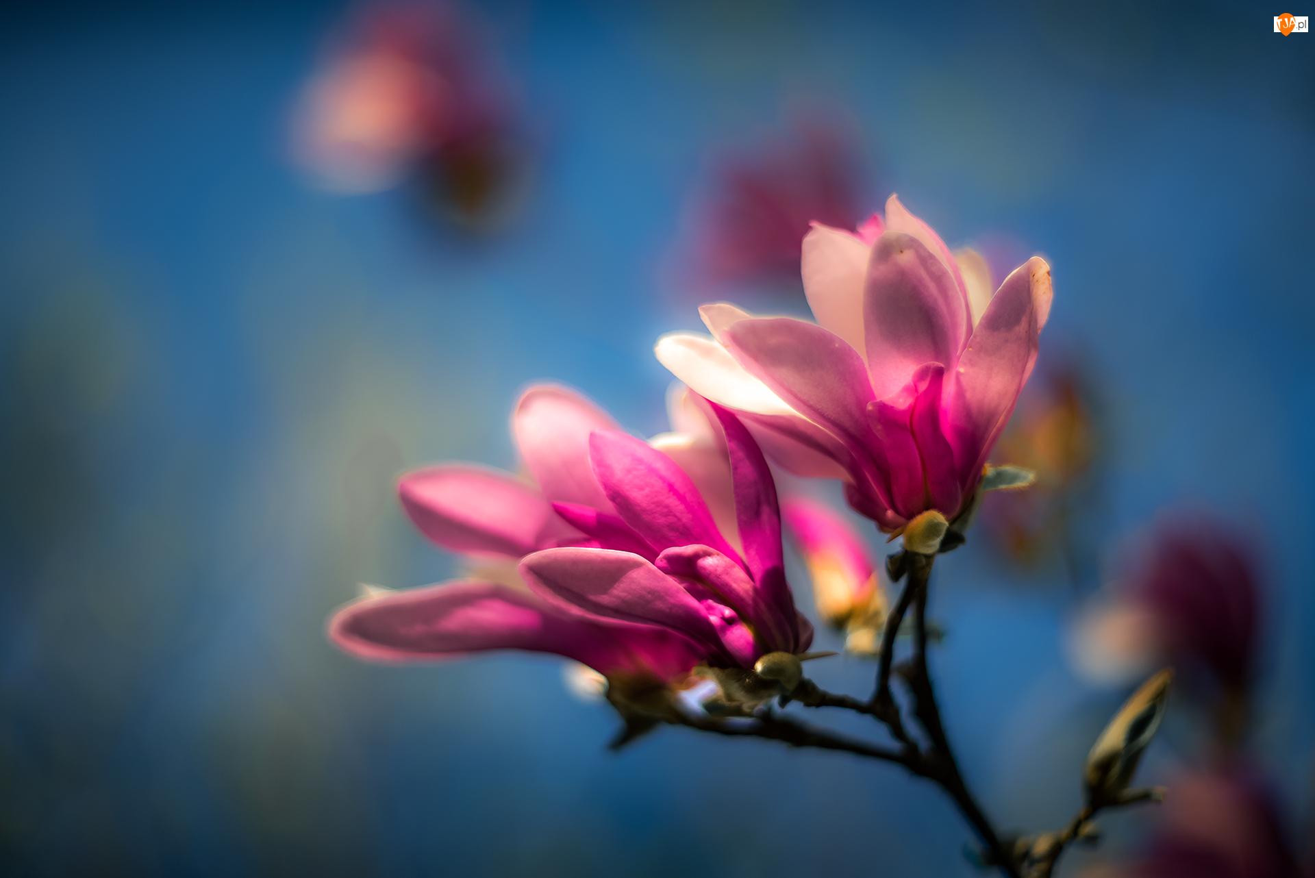 Kwiaty, Magnolia