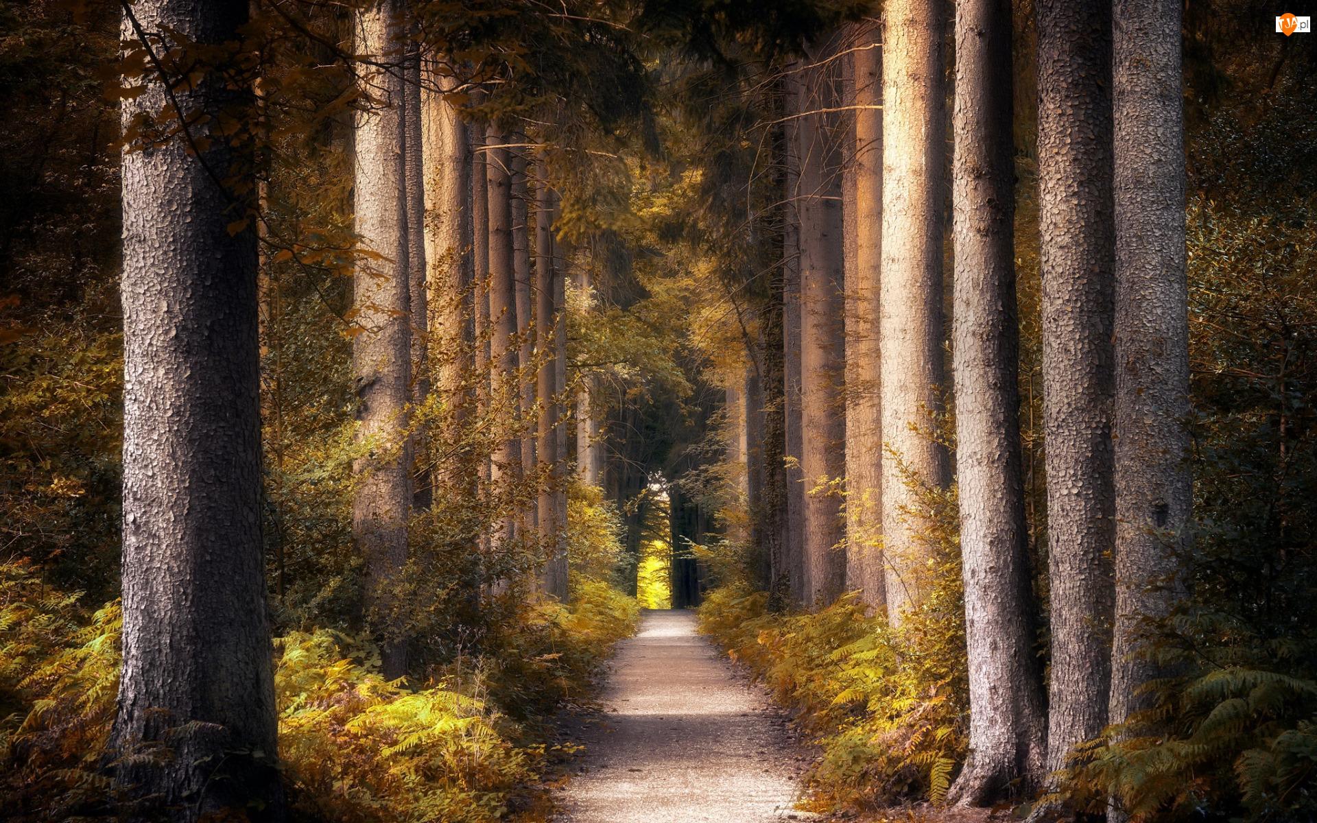 Paprocie, Las, Drzewa, Droga
