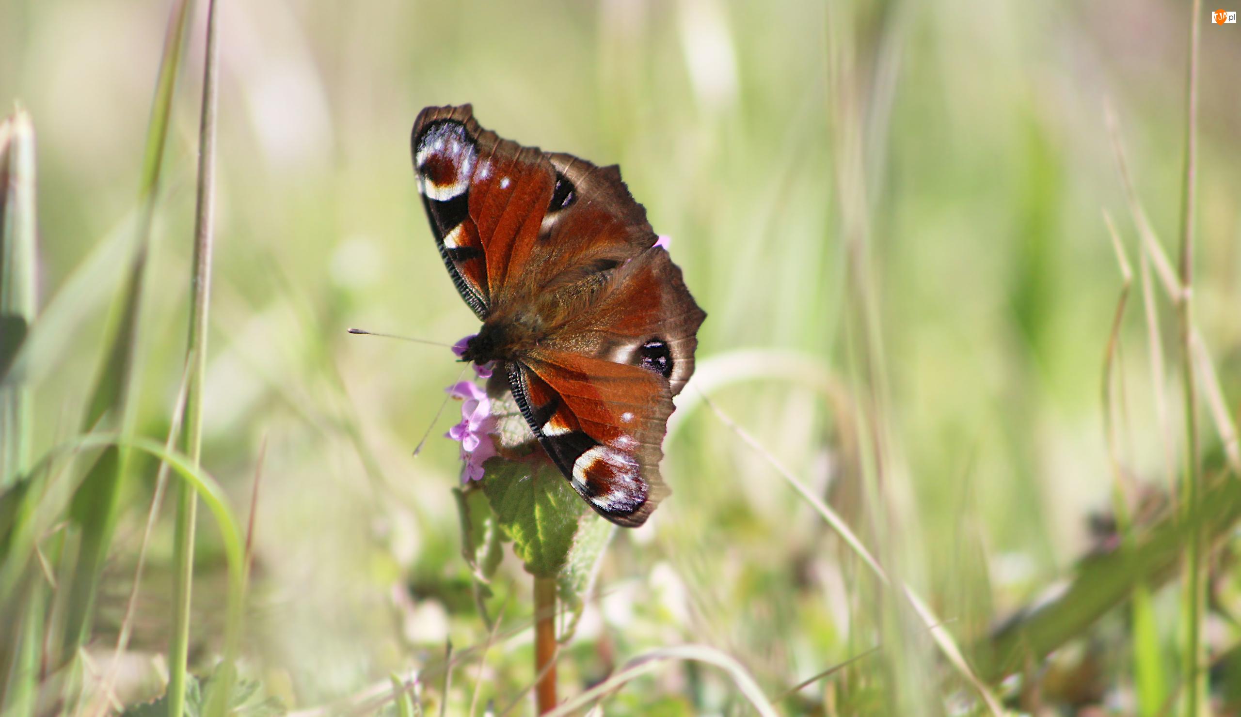 Zbliżenie, Motyl, Rusałka pawik, Kwiat