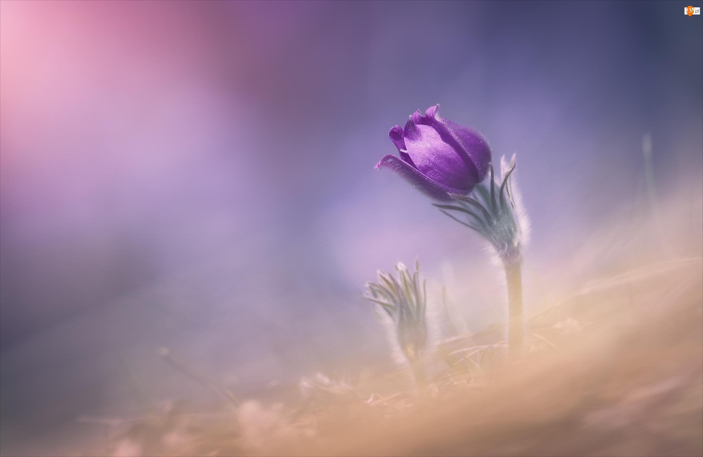 Sasanka, Rozmyte tło, Kwiat, Fioletowy, Pąk