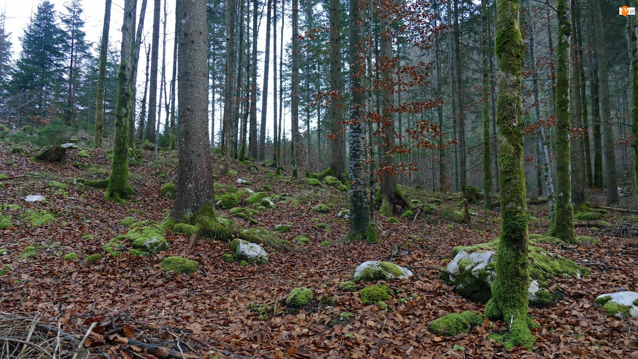 Omszałe, Kamienie, Drzewa, Las, Pnie