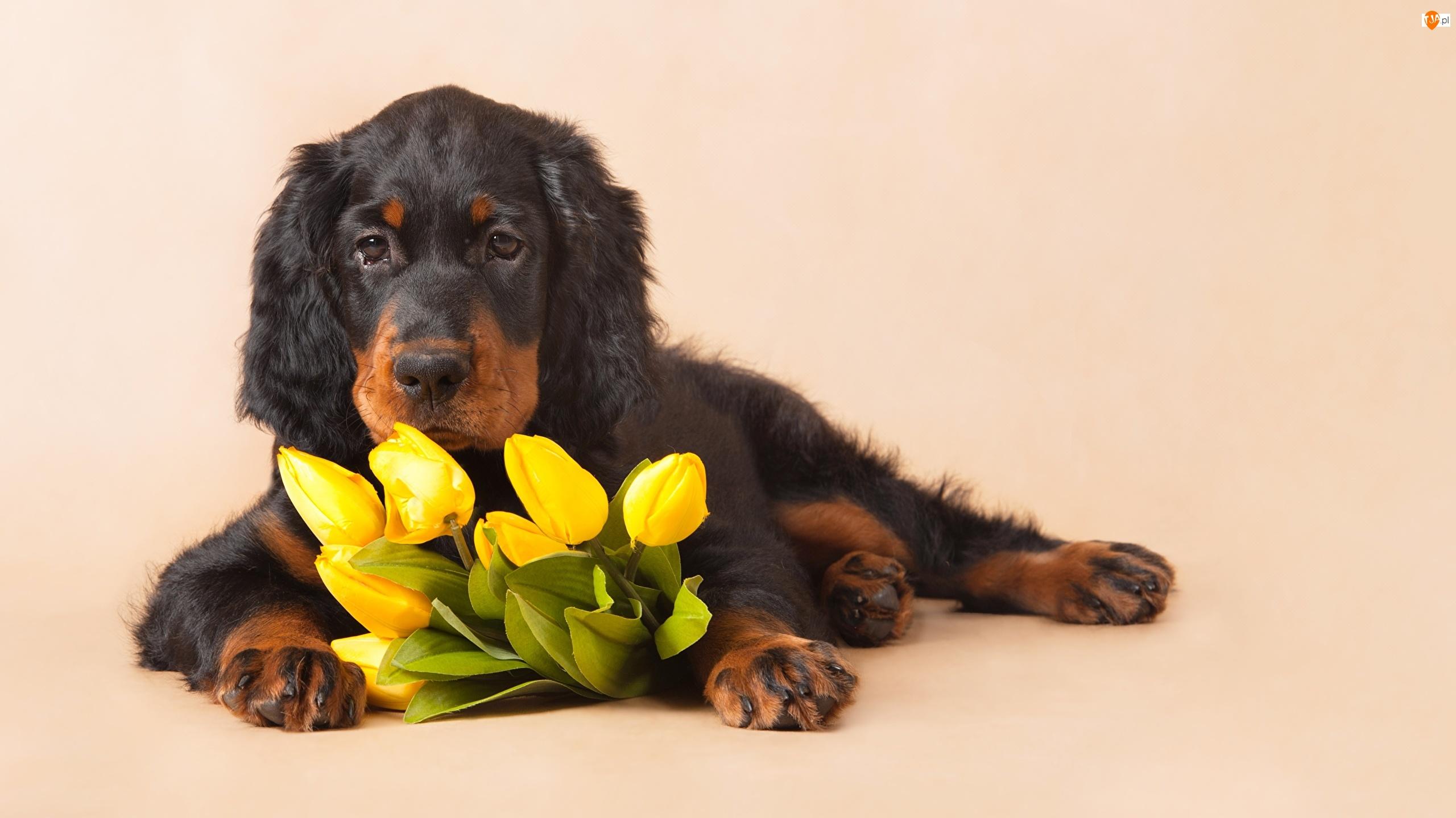 Tulipany, Pies, Seter szkocki, Kwiaty