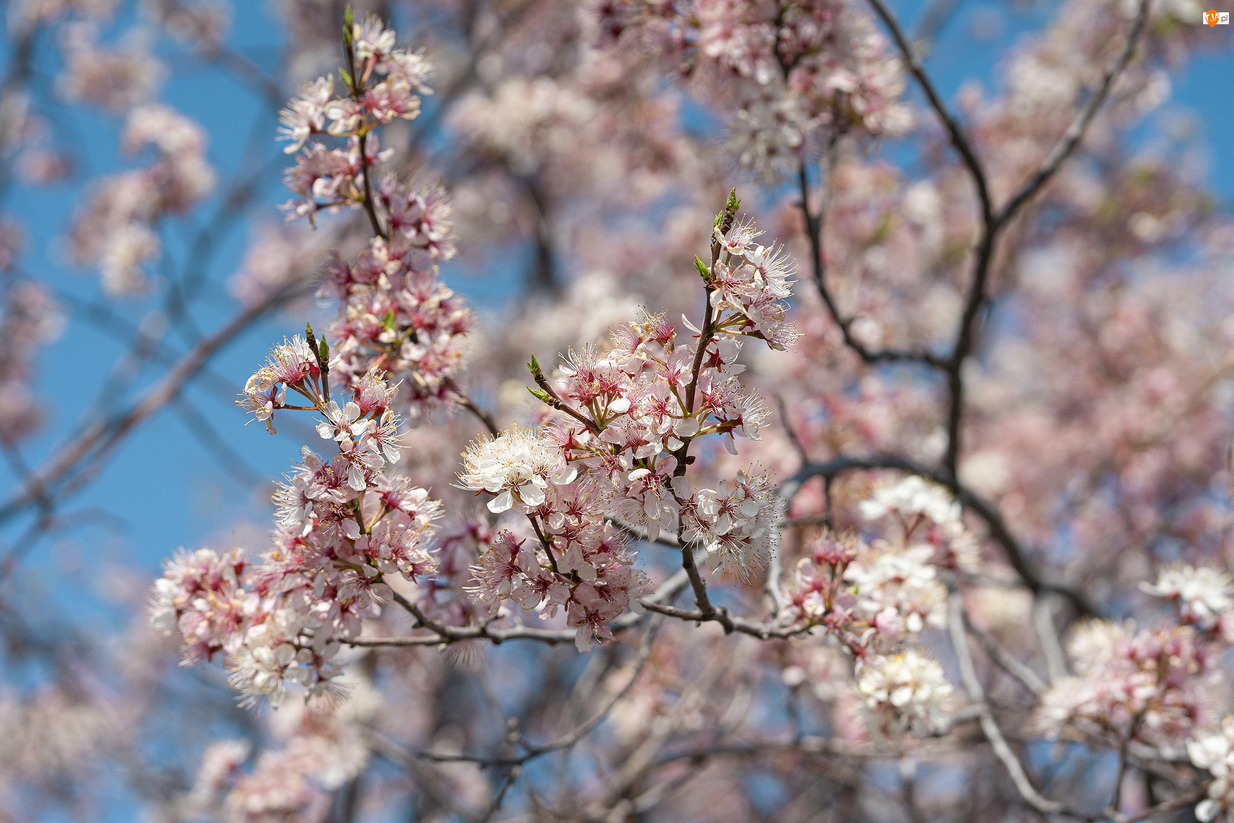 Drzewo owocowe, Gałęzie, Kwiaty