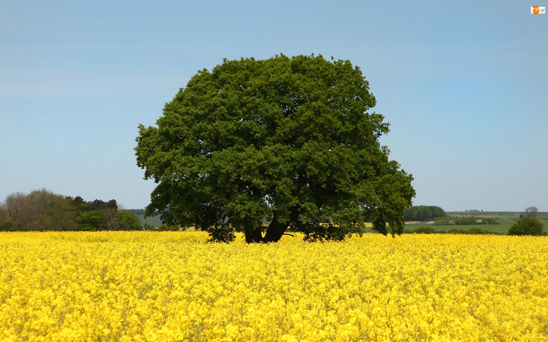 Niebo, Pole, Rzepak, Drzewo