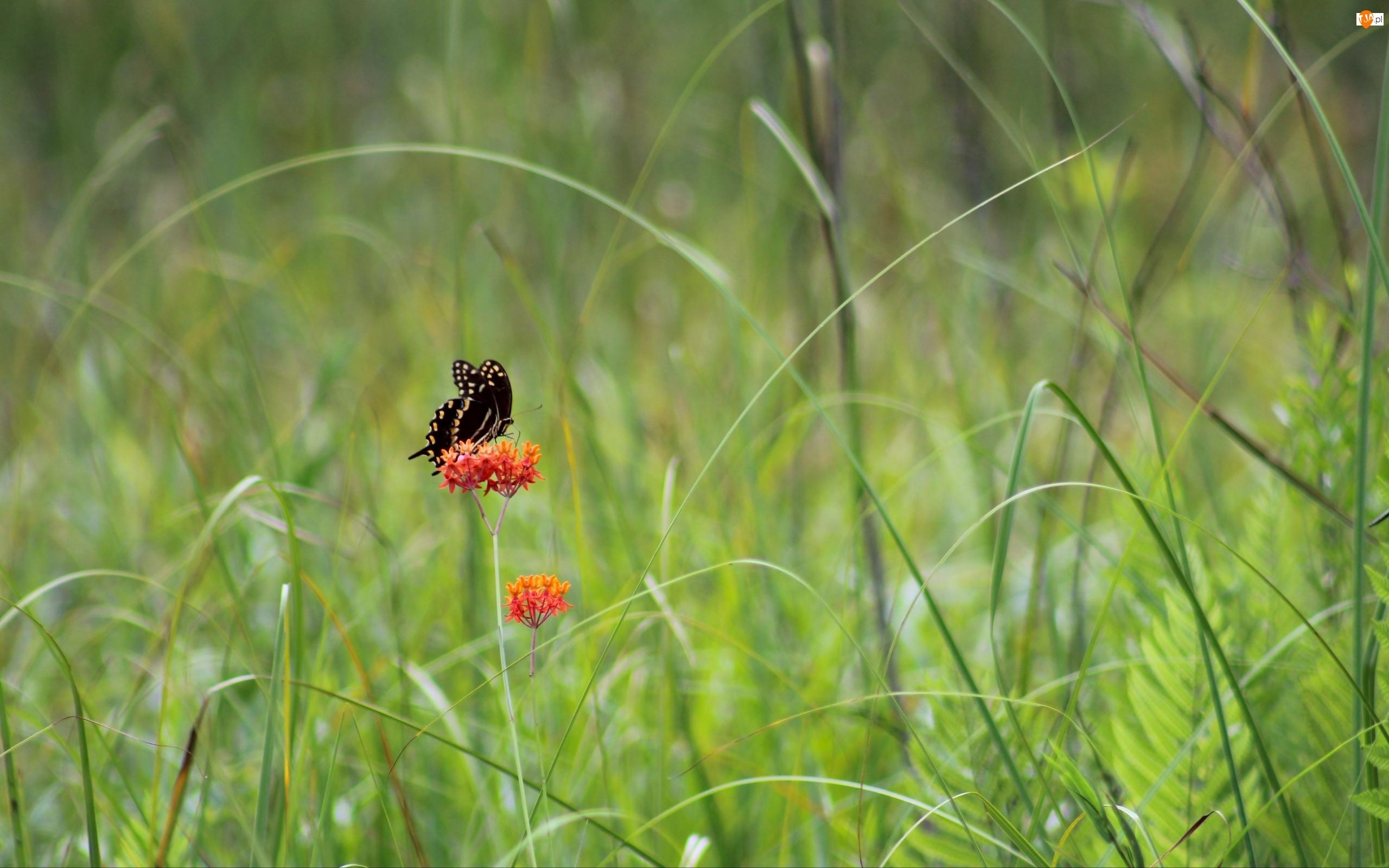 Trawa, Czarny, Motyl, Kwiat