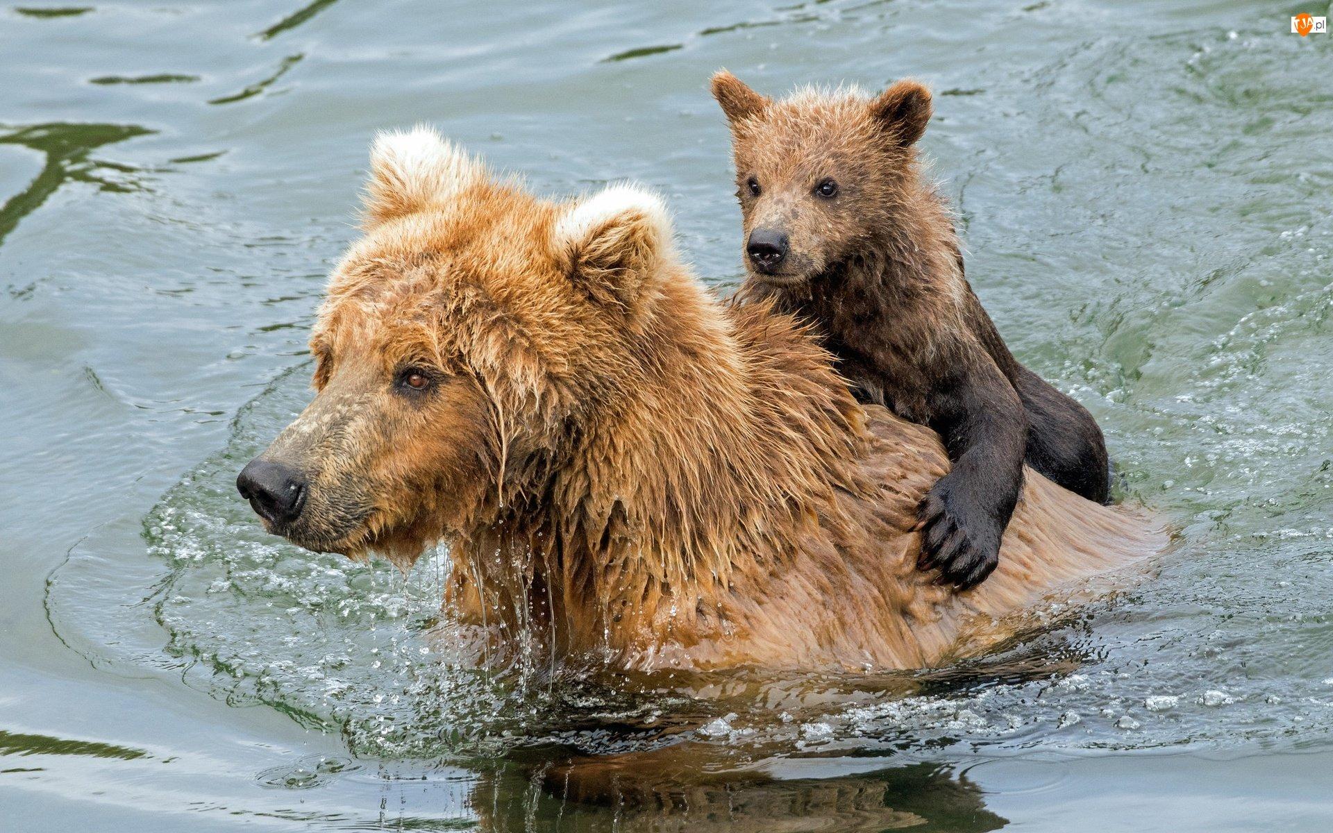 Woda, Niedźwiedzie szare, Grizli, Niedźwiadek