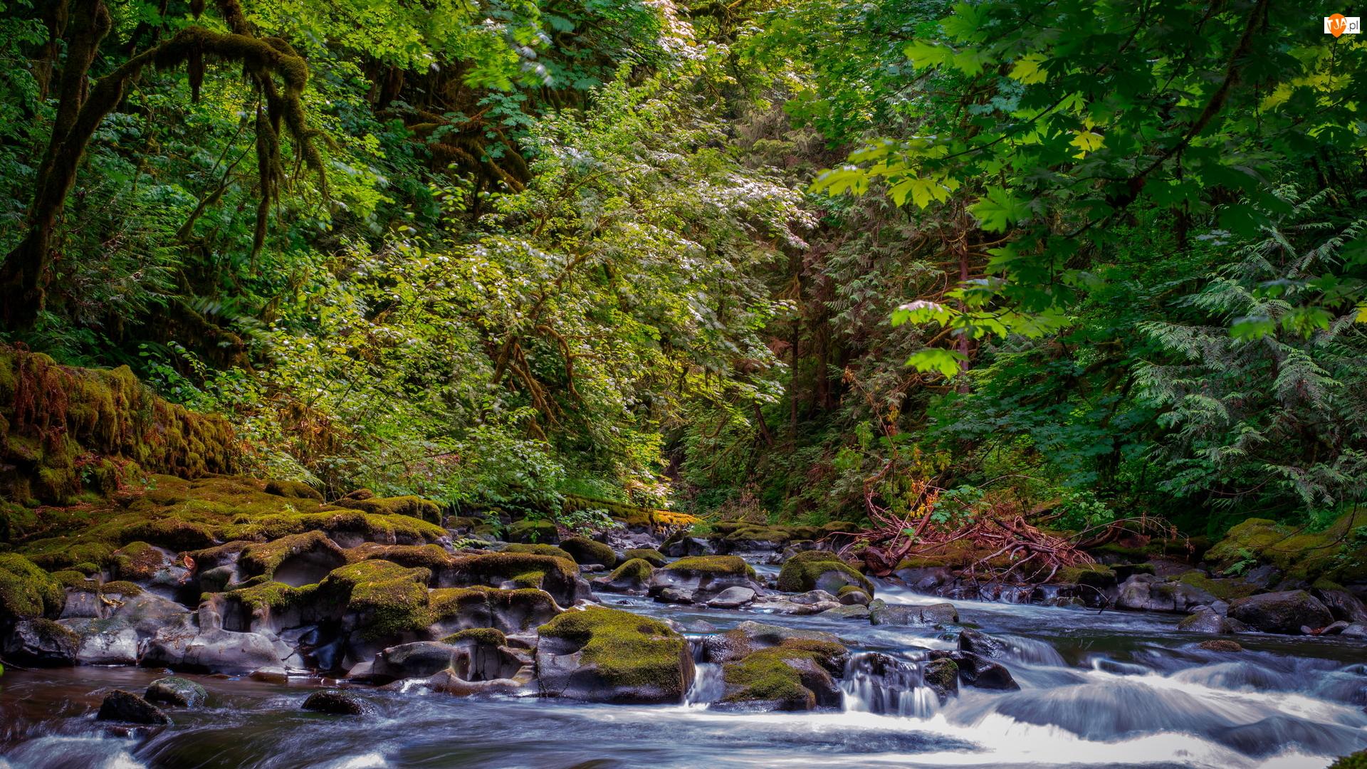 Rzeka, Kamienie, Drzewa, Las, Omszone