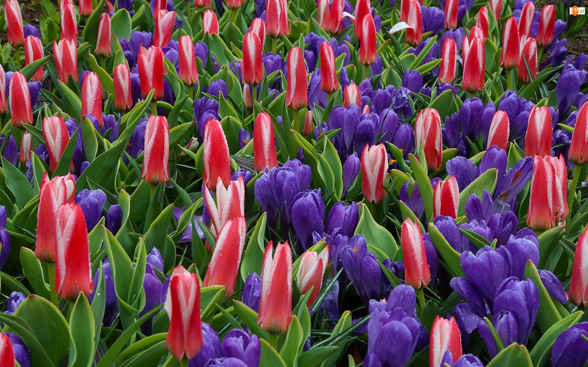 Tulipany, Krople, Kolorowe, Kwiaty, Krokusy