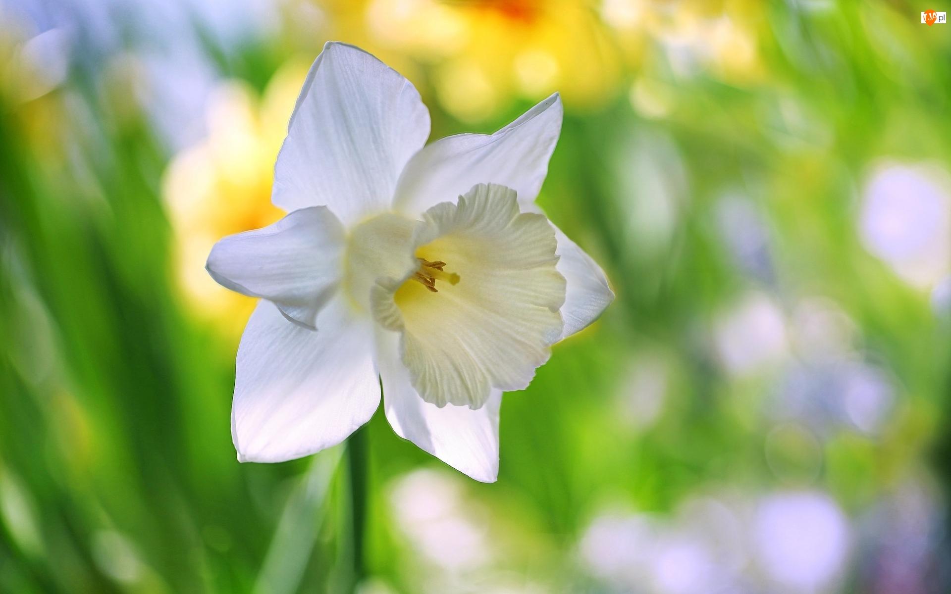 Rozmycie, Kwiat, Biały, Narcyz żonkil