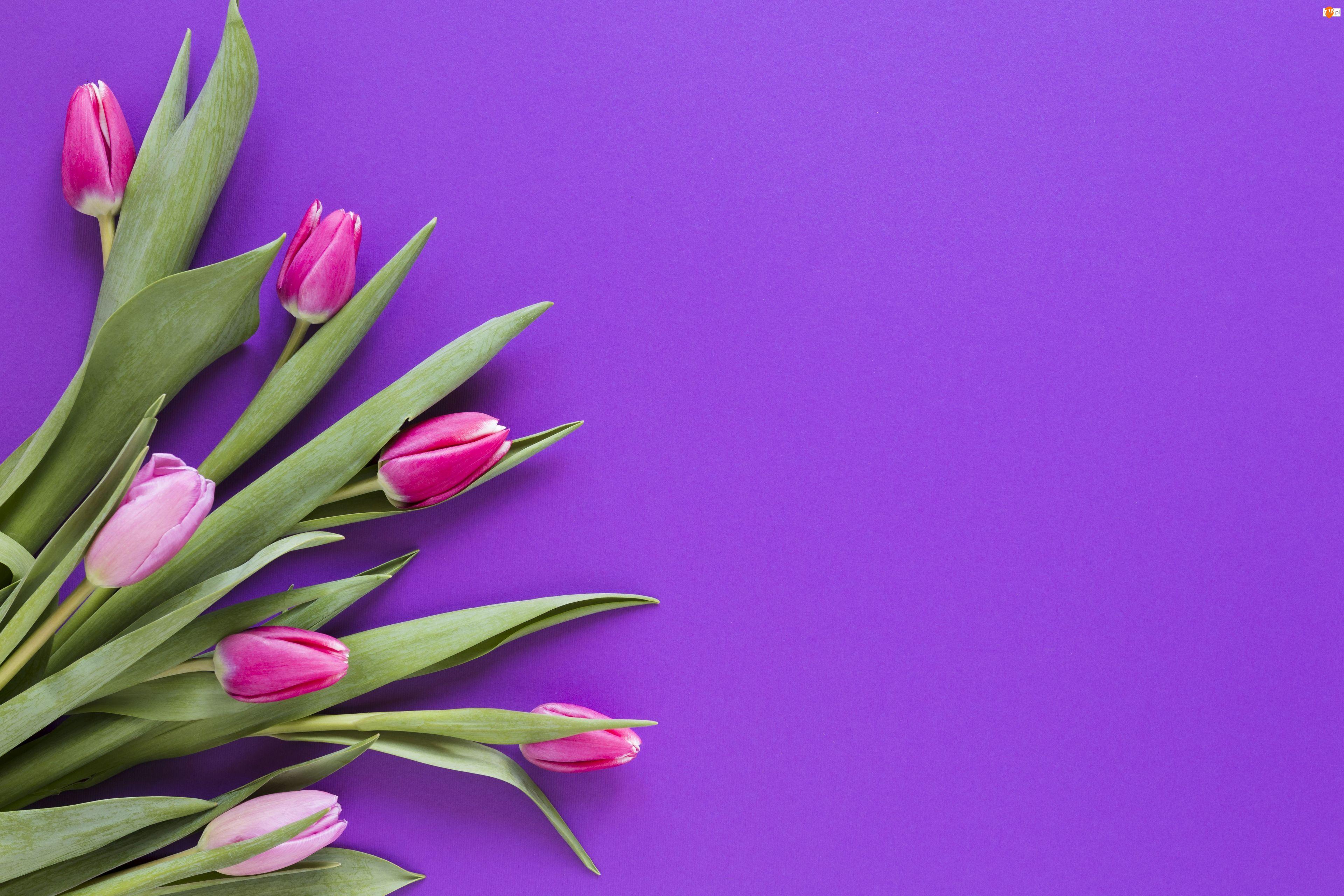 Tło, Kwiaty, Tulipany, Fioletowe