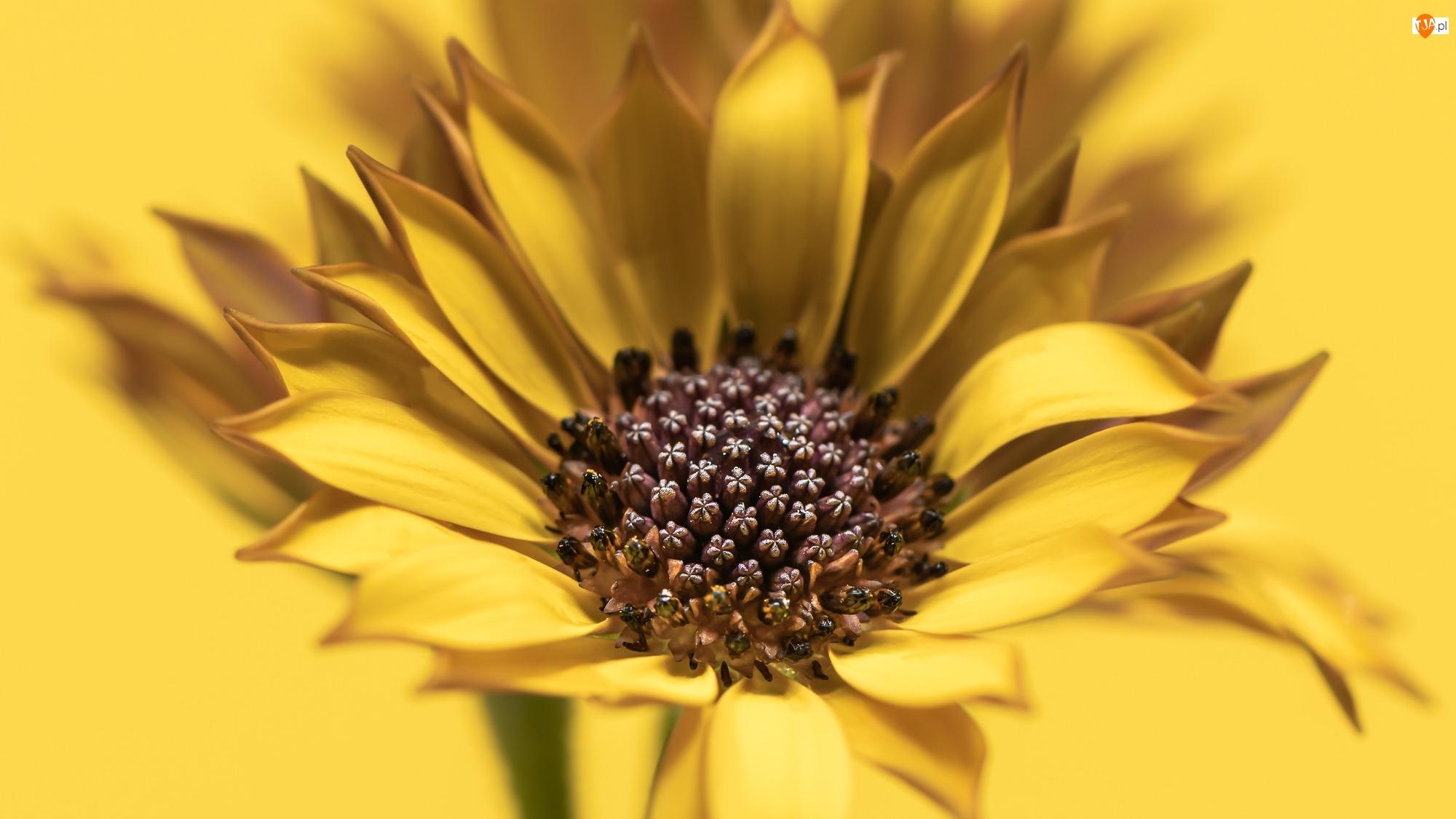 Stokrotka afrykańska, Kwiat, Żółta