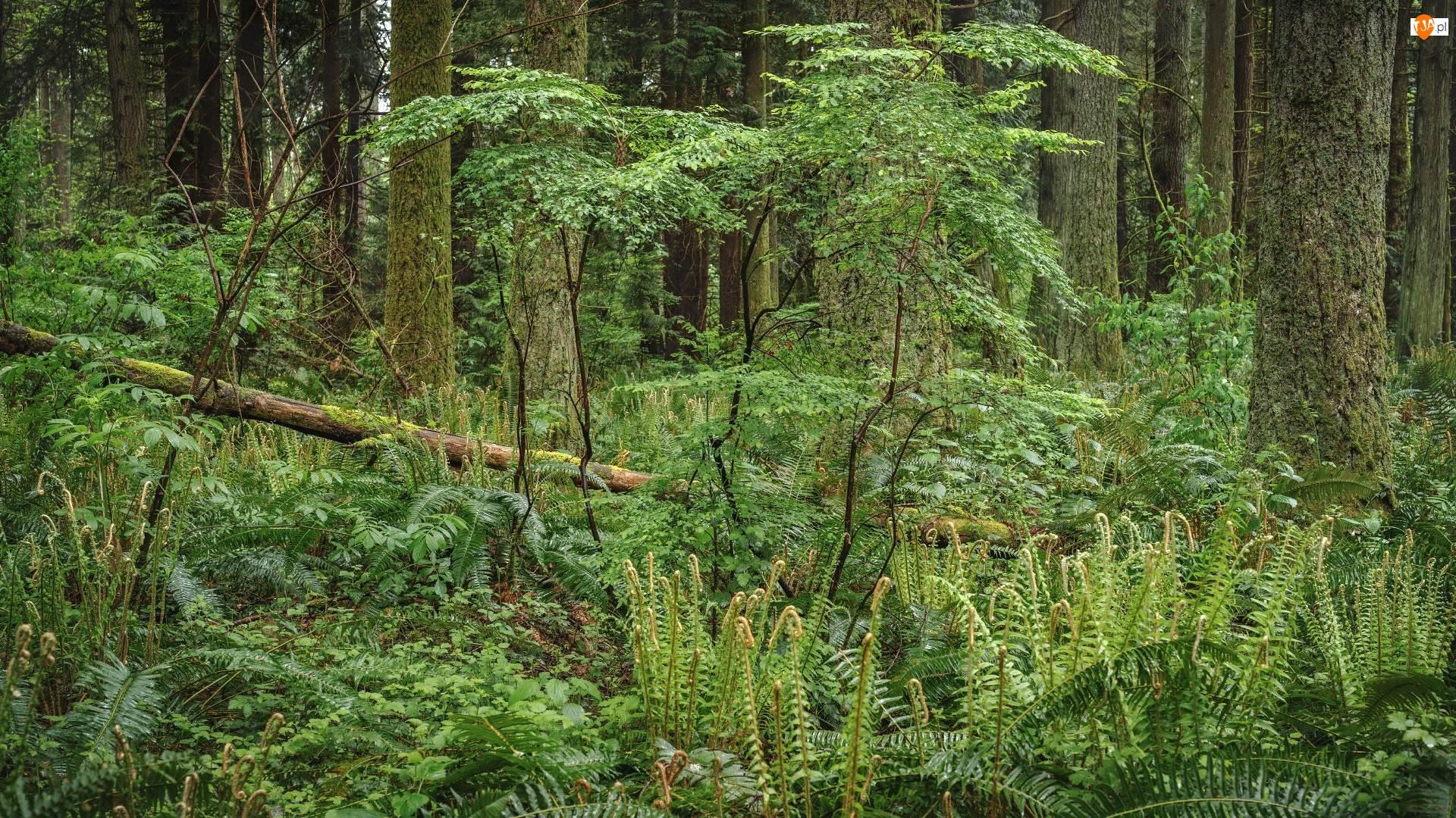 Paprocie, Drzewo, Las, Lato, Powalone