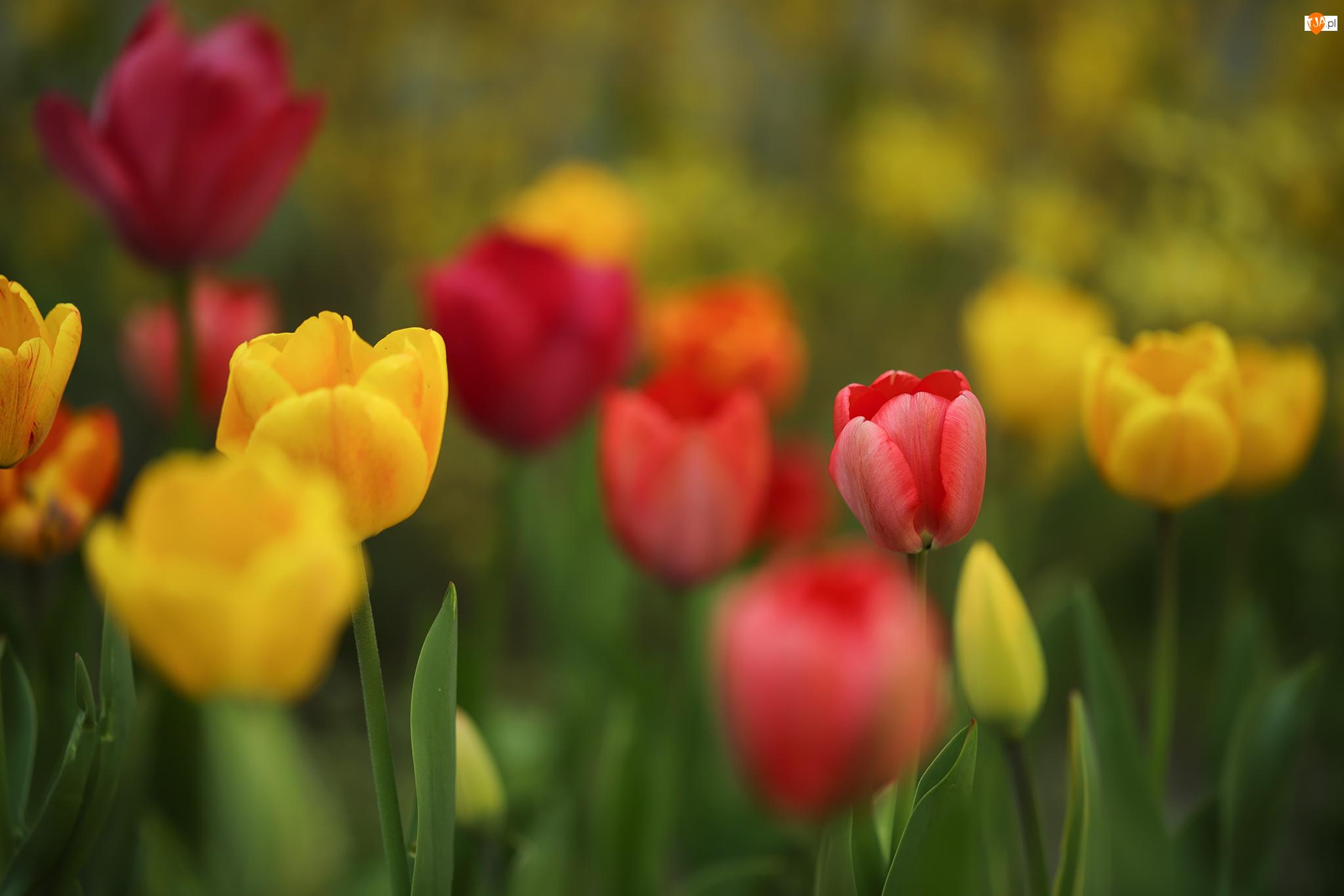 Żółte, Kwiaty, Czerwone, Kolorowe, Tulipany