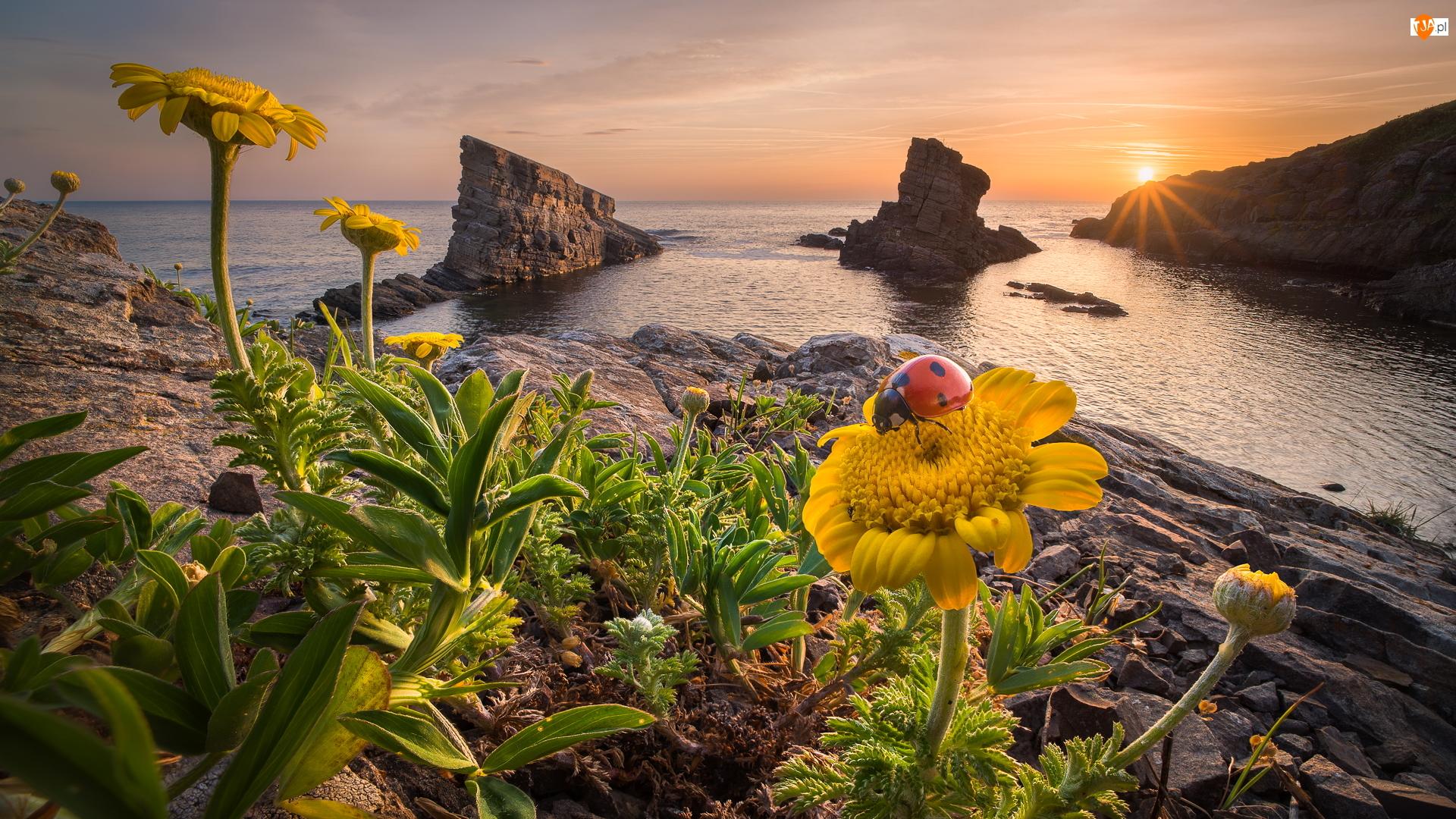 Bułgaria, Skały, Gmina Carewo, Biedronka, Sinemorec, Promienie słońca, Żółte, Morze Czarne, Kwiaty