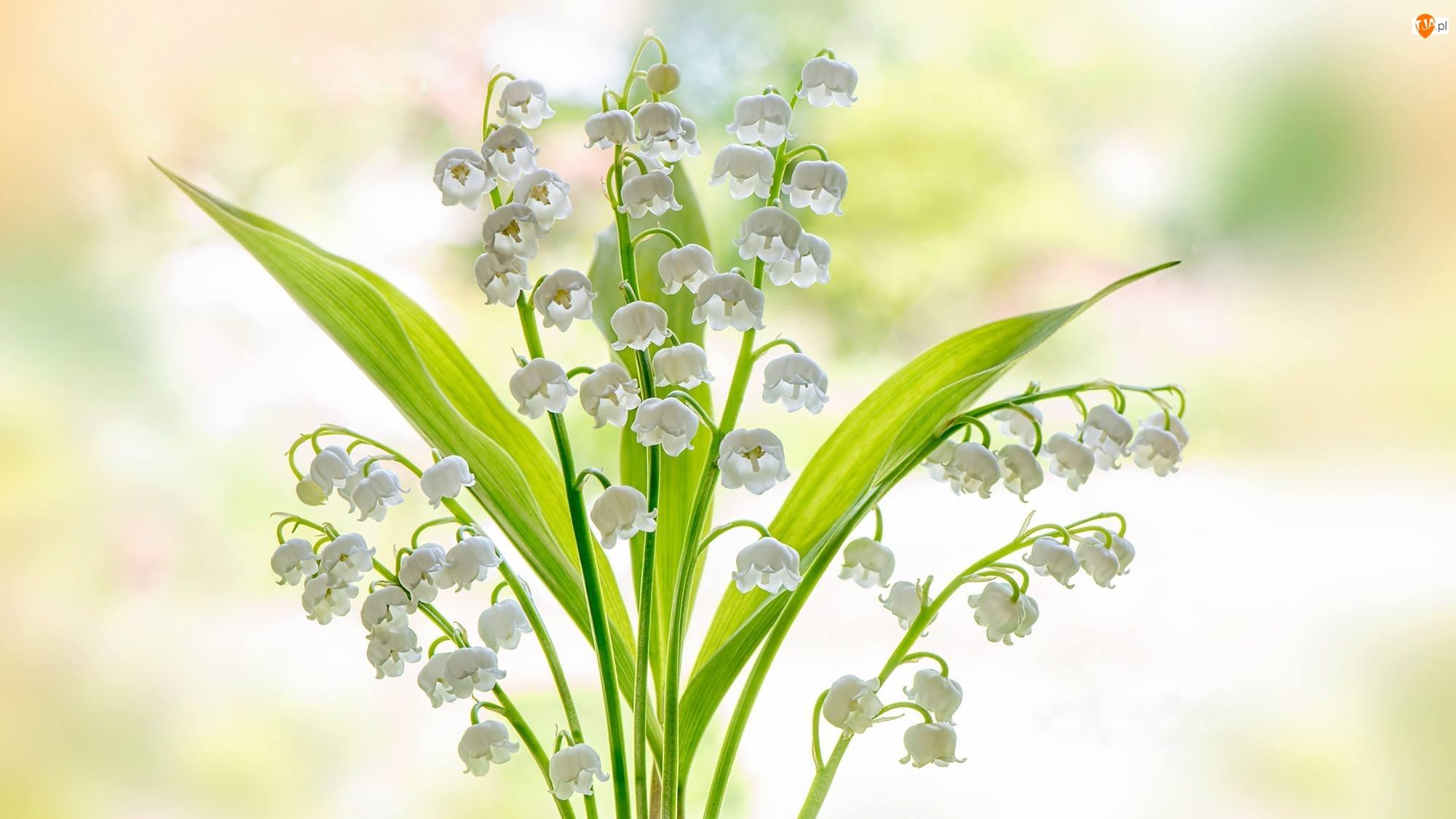 Konwalia, Białe, Kwiaty