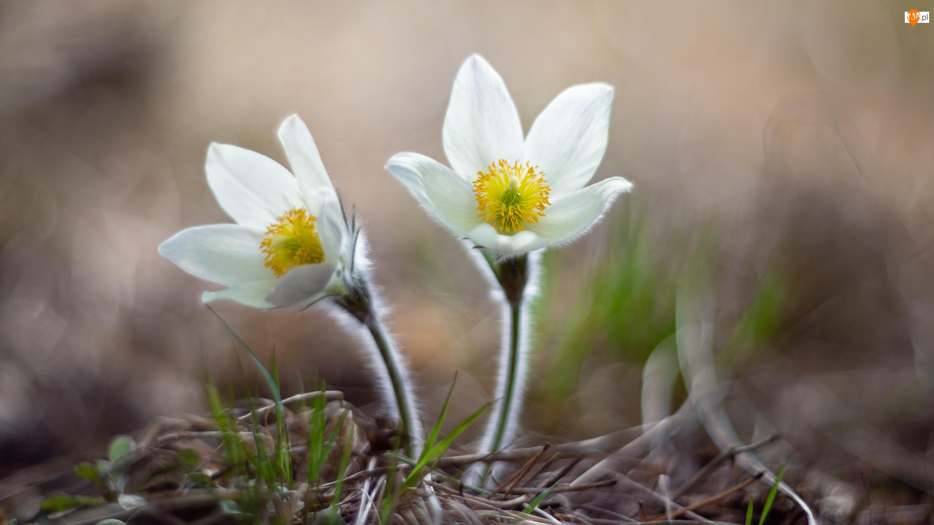 Sasanki, Kwiaty, Białe
