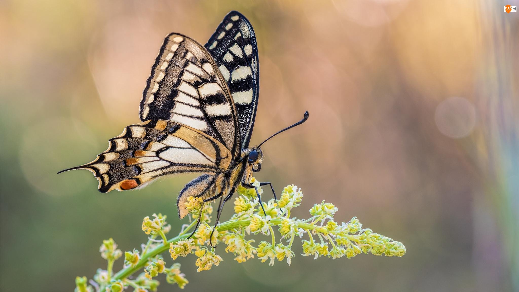 Makro, Motyl, Paź królowej, Roślina