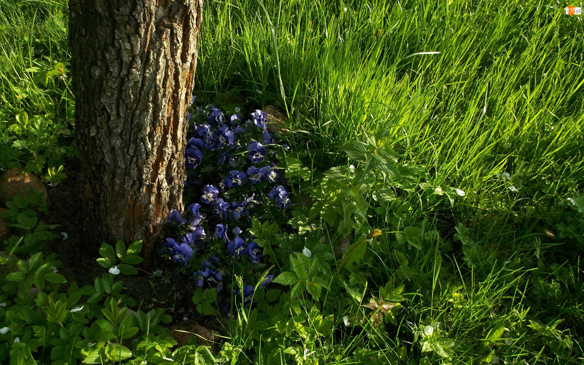 Pień, Trawa, Fiołki trójbarwne, Kwiaty, Drzewo