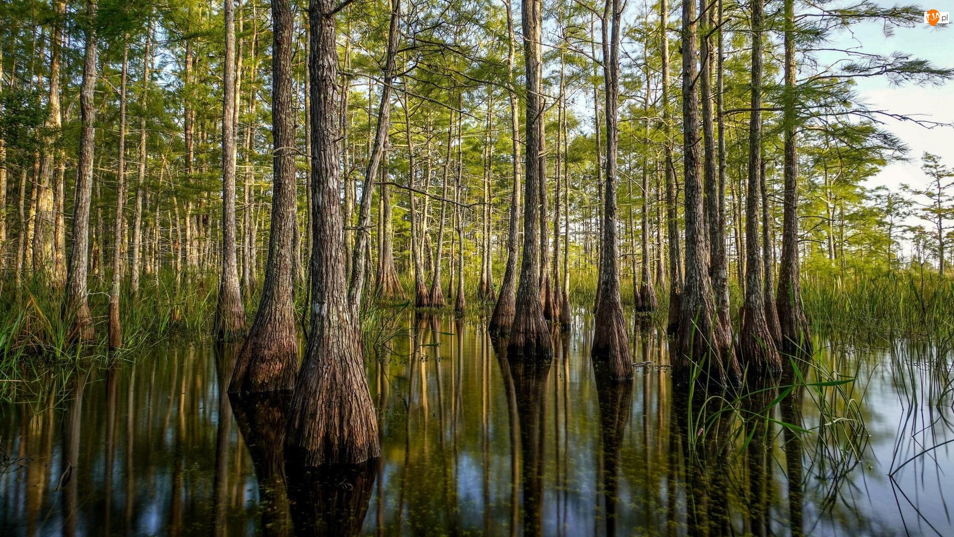 Big Cypress National Preserve, Las, Mokradła, Stan Floryda, Drzewa, Rezerwat, Stany Zjednoczone, Cyprysy