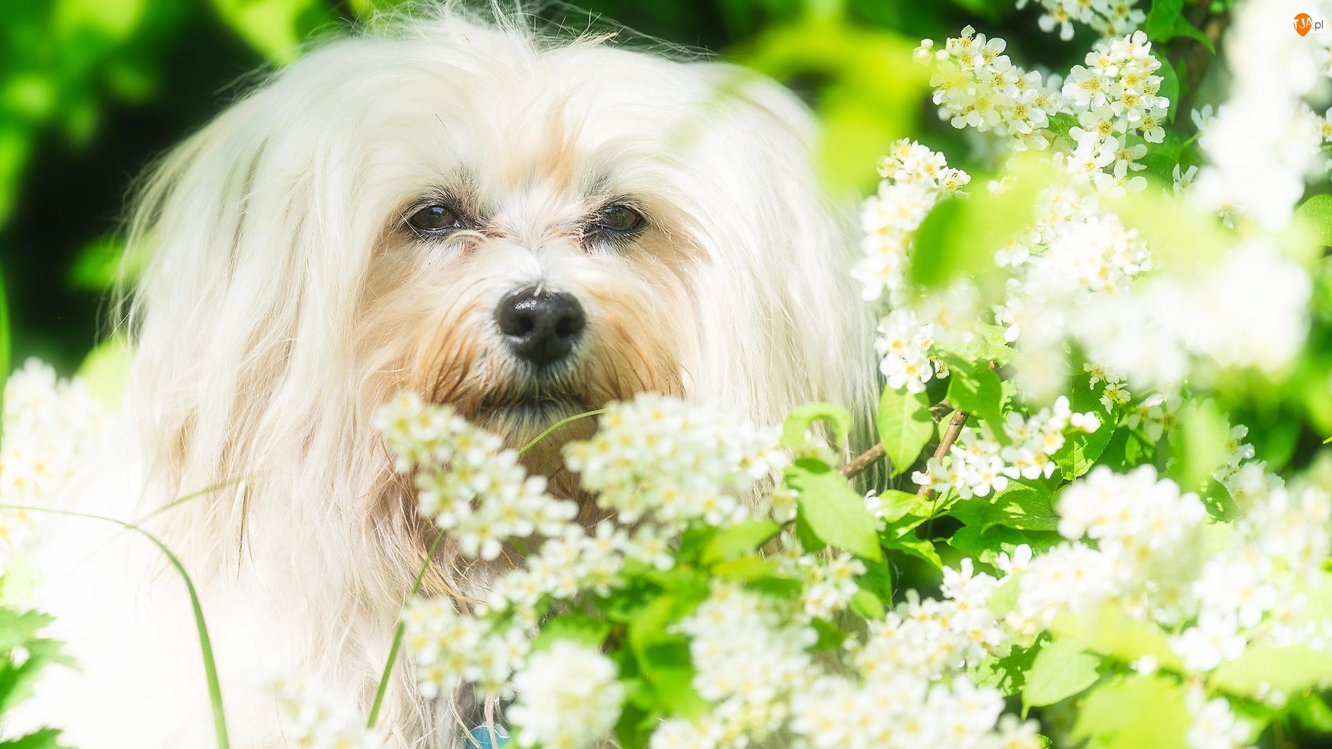 Pies, Krzew, Biały, Maltańczyk, Kwitnący