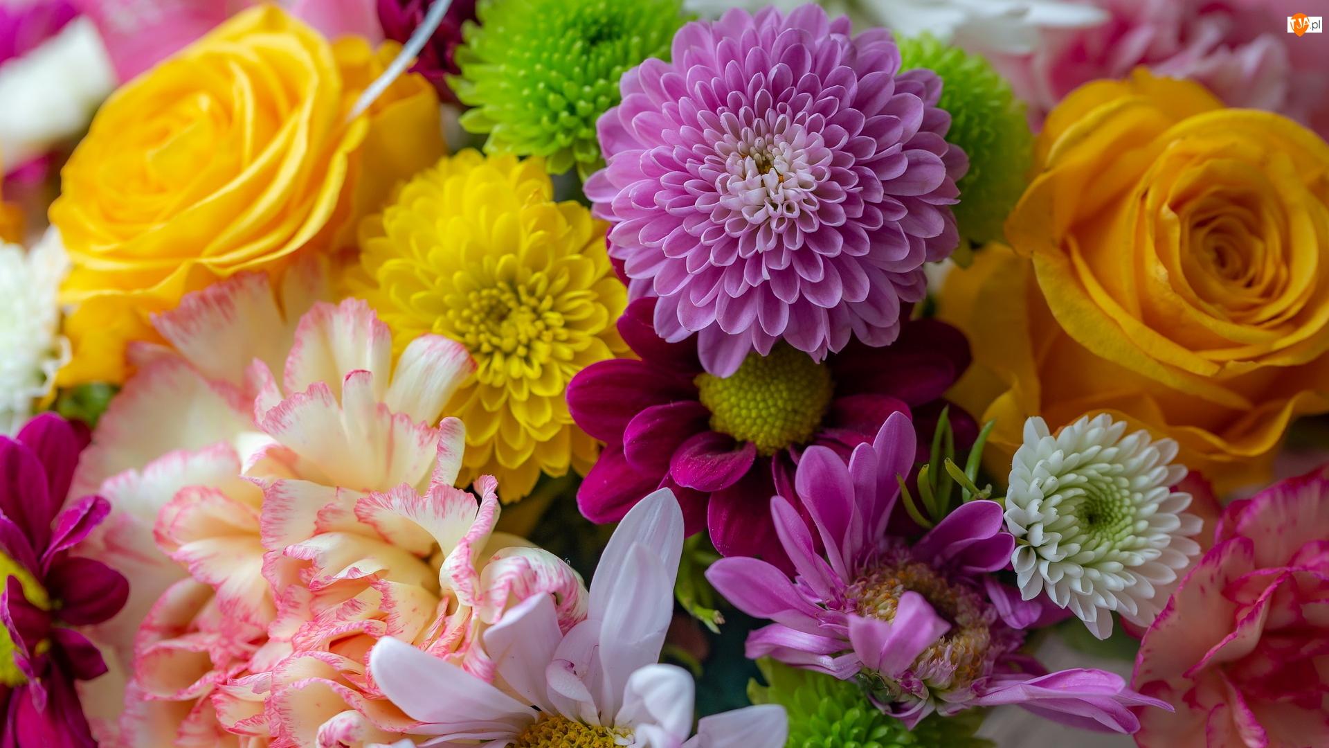 Dalie, Róże, Kwiaty, Kolorowe, Goździk