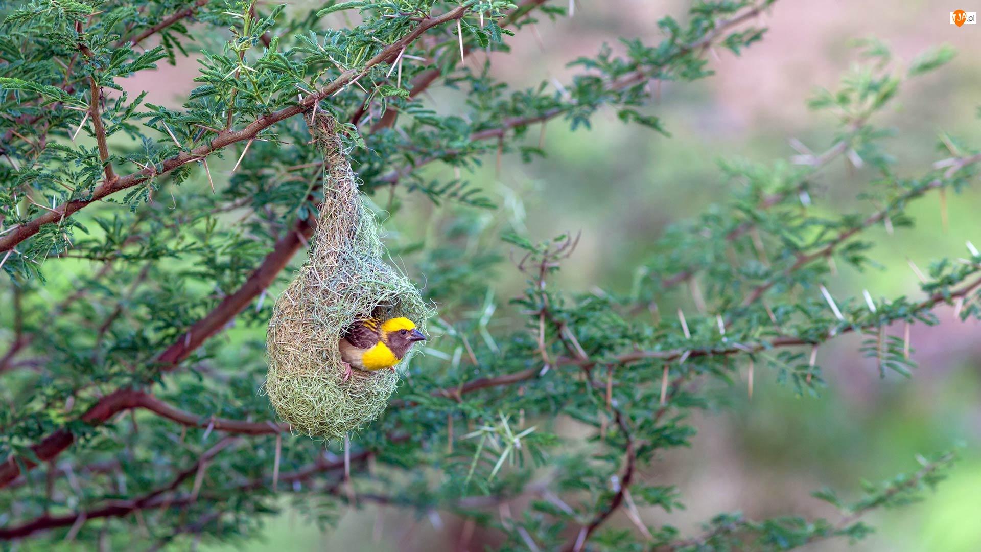 Gniazdo, Ptak, Wikłacz złotogłowy, Wiszące