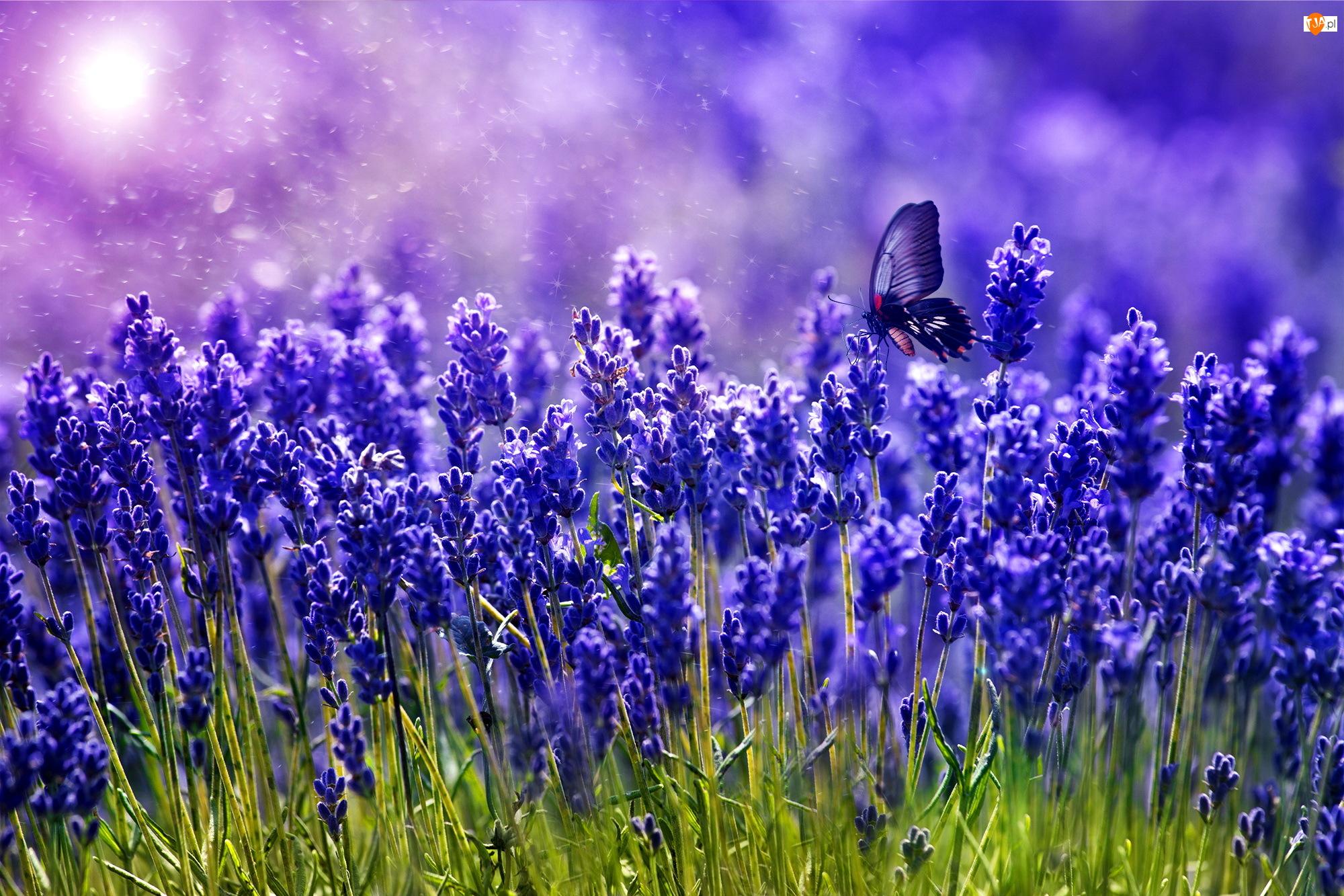 Motyl, Fioletowe, Kwiaty, Lawenda