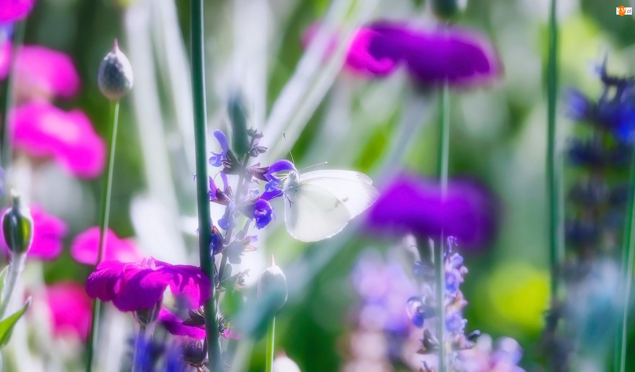 Rozmycie, Kwiaty, Motyl, Bielinek