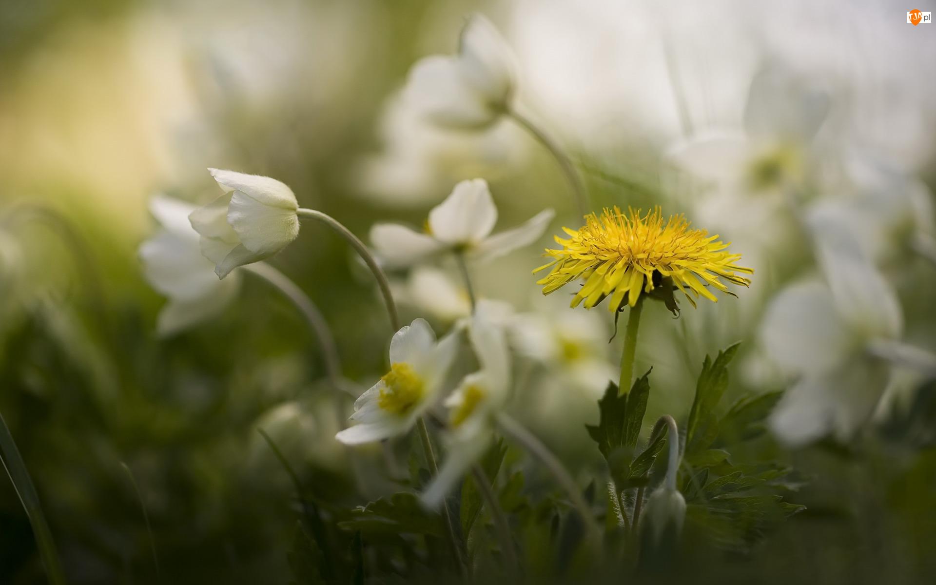 Kwiaty, Mniszek pospolity, Białe