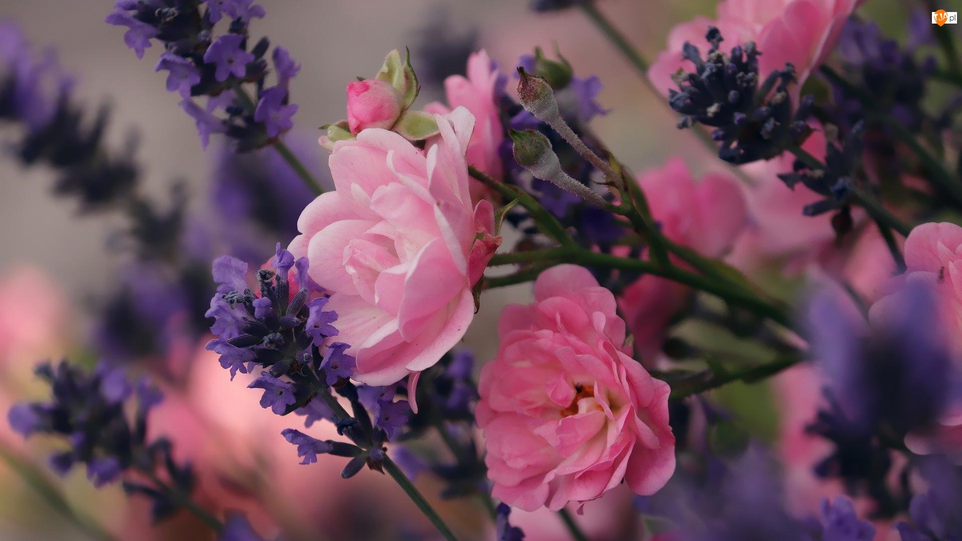 Kwiaty, Róże, Różowe, Fioletowe, Lawenda