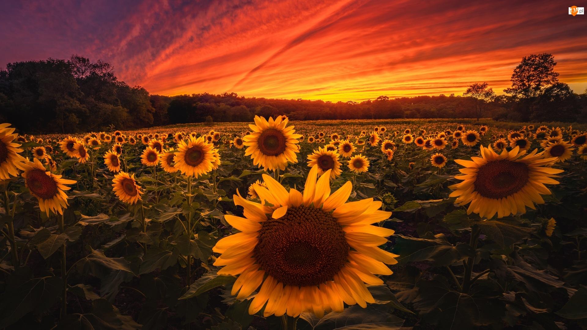 Zachód słońca, Pole, Słoneczniki