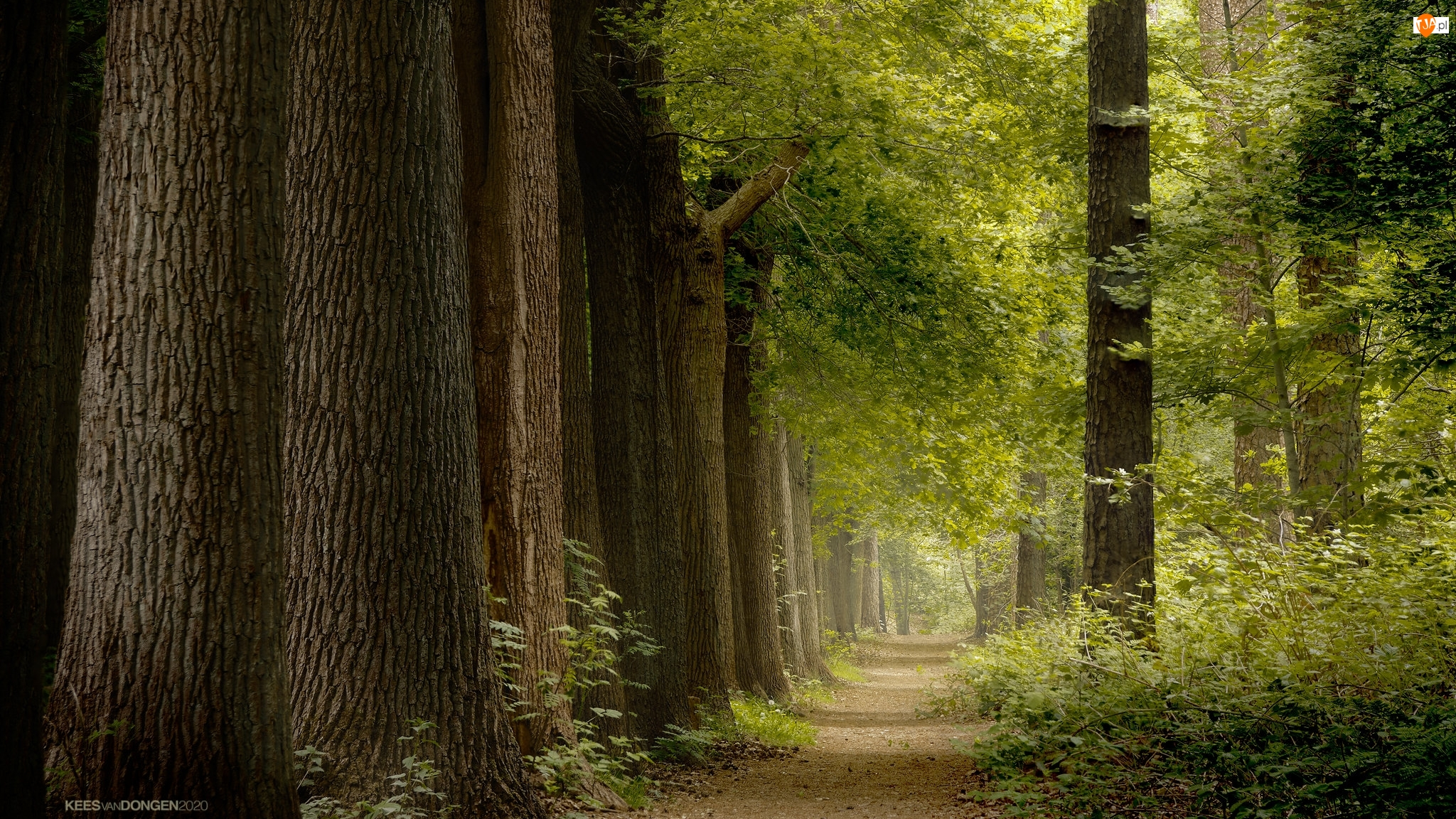 Pnie, Droga, Drzewa, Las, Krzewy