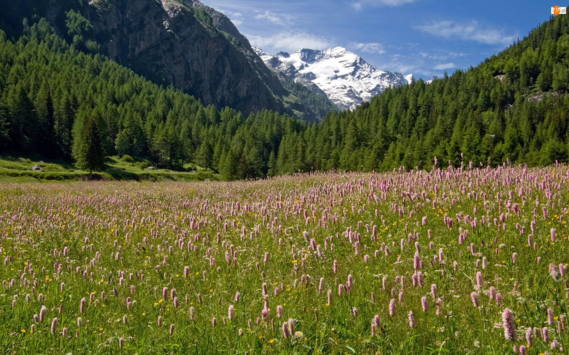 Góry Alpy, Lasy, Kwiaty, Włochy, Łąka, Park Narodowy Gran Paradiso, Drzewa