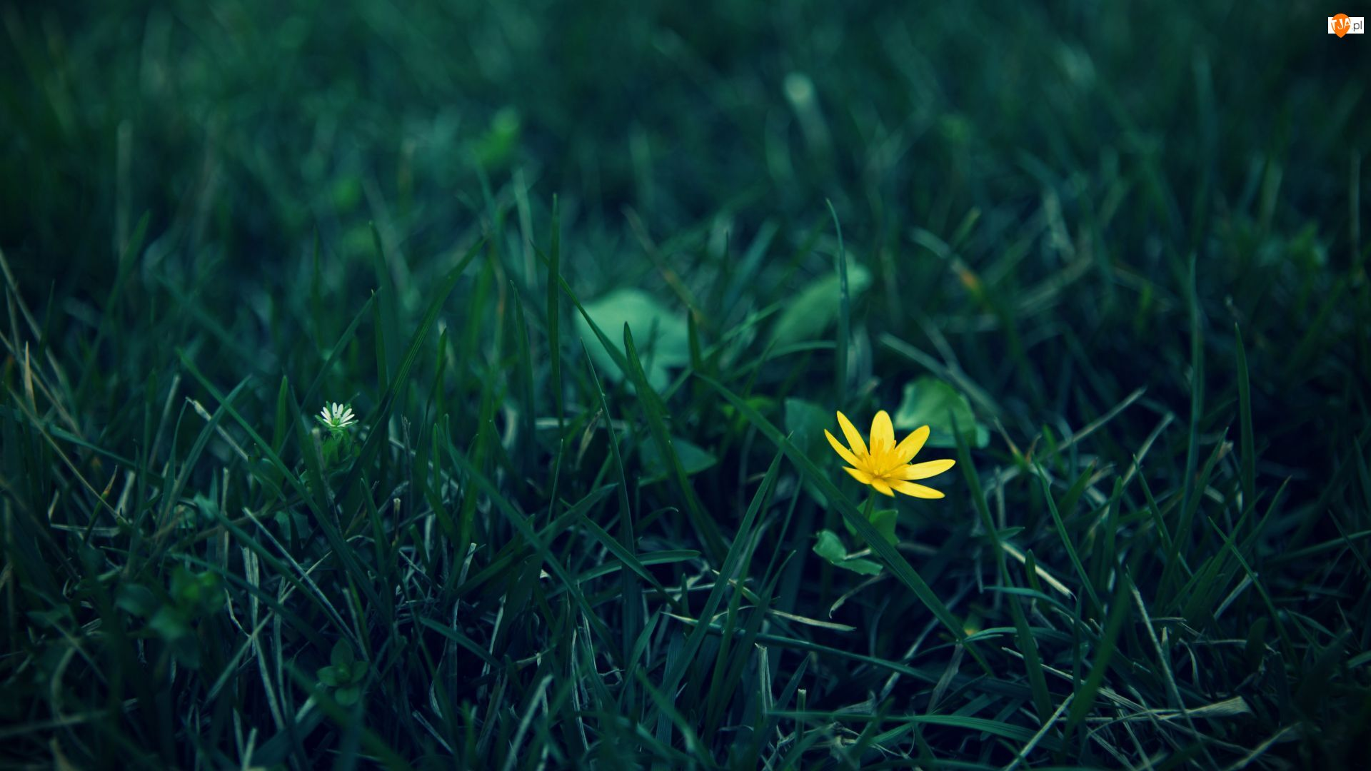 Żółty, Trawa, Kwiat