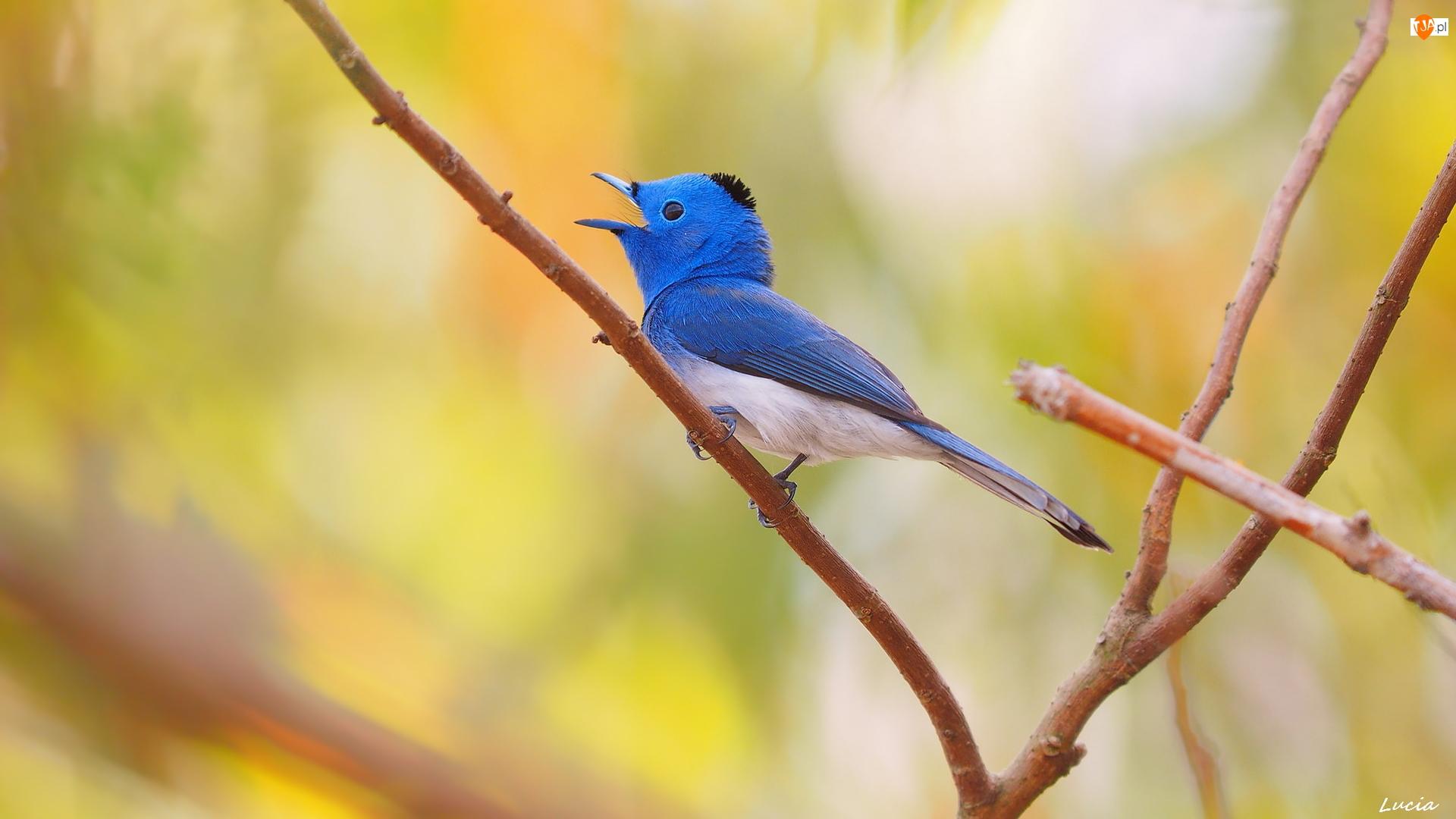 Gałązki, Monarszyk hiacyntowy, Niebieski, Ptak