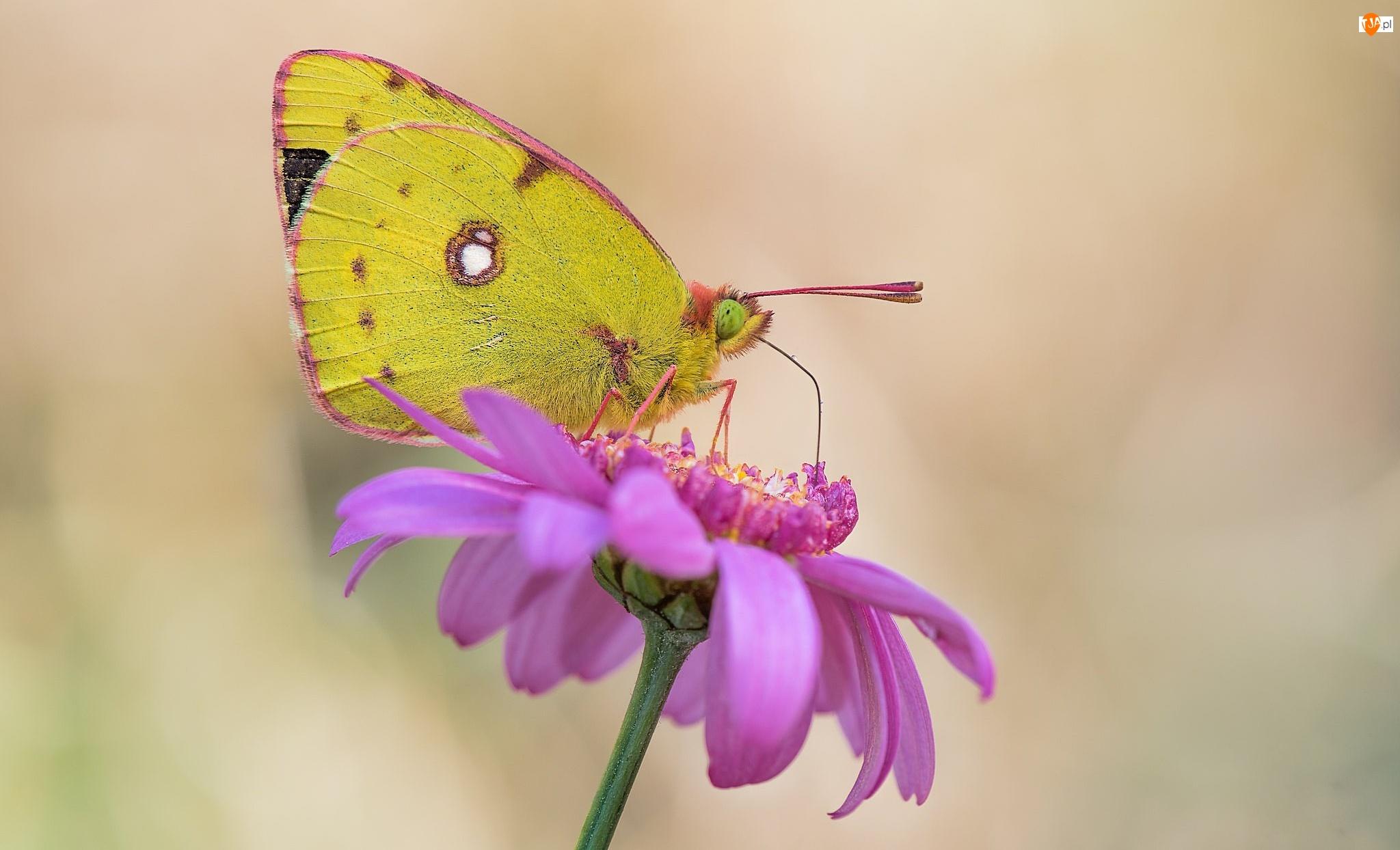 Kwiat, Żółty, Motyl, Szlaczkoń południowiec