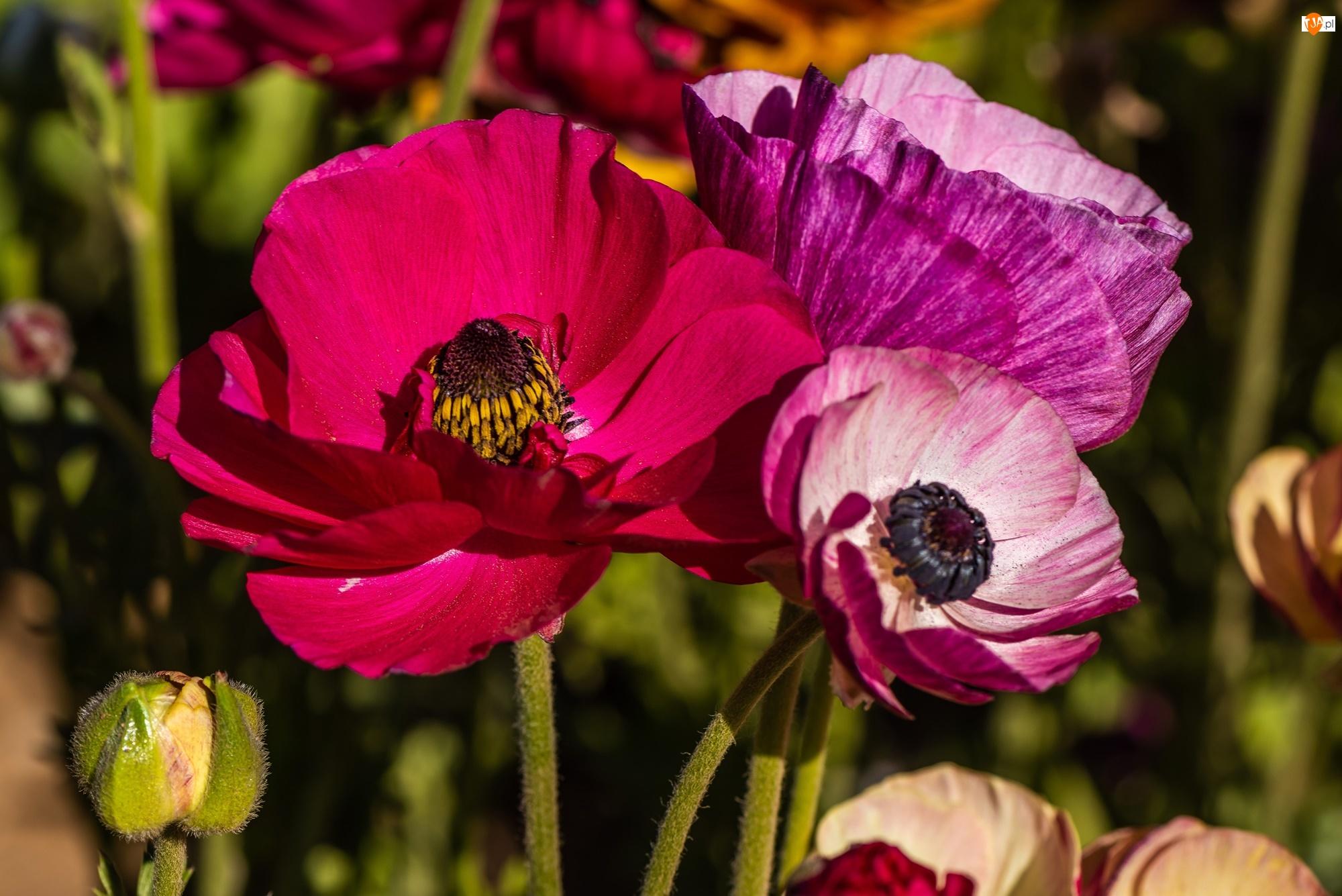 Maki, Kwiaty, Rozwinięte