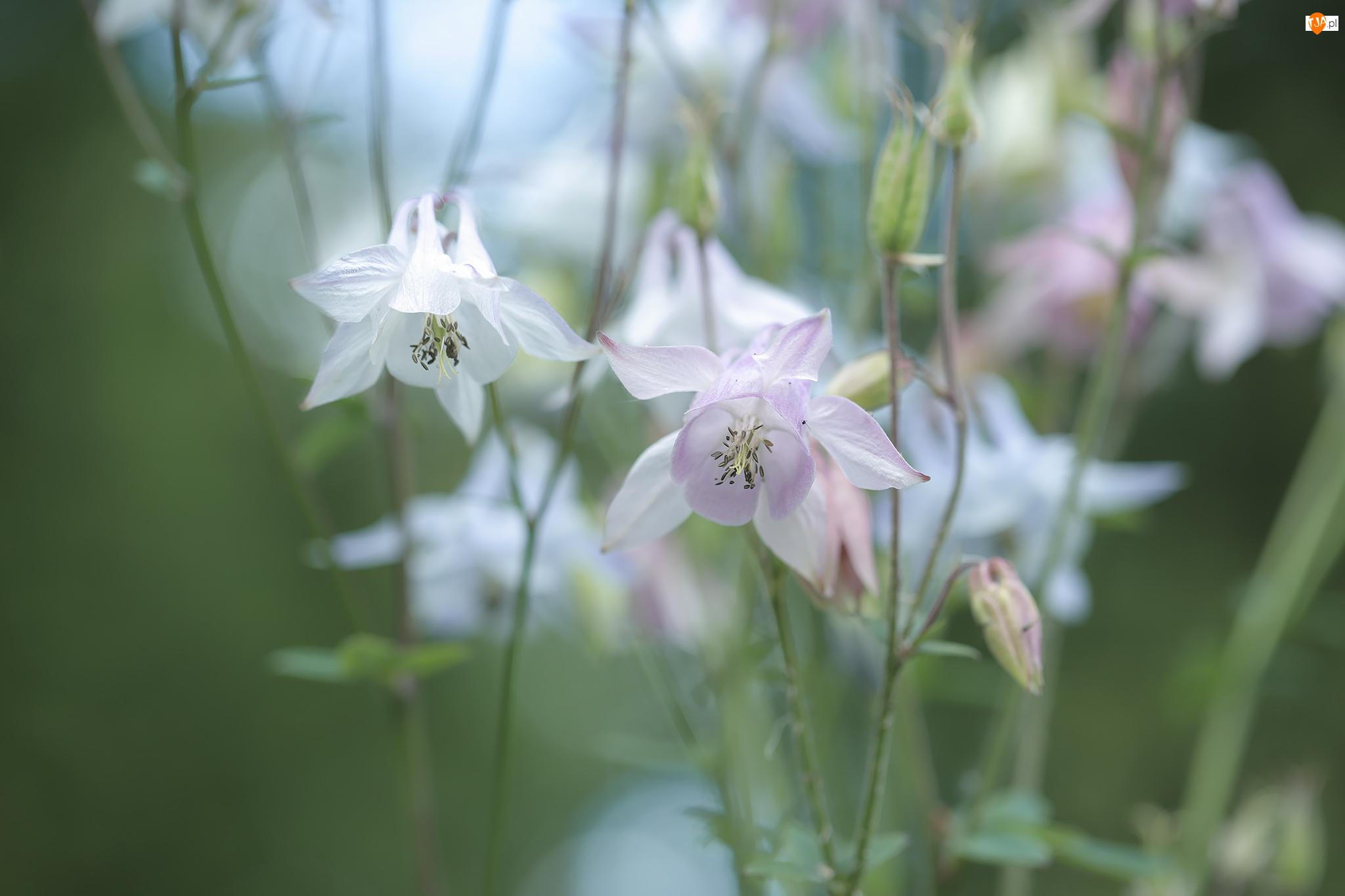 Kwiaty, Różowe, Białe, Orliki