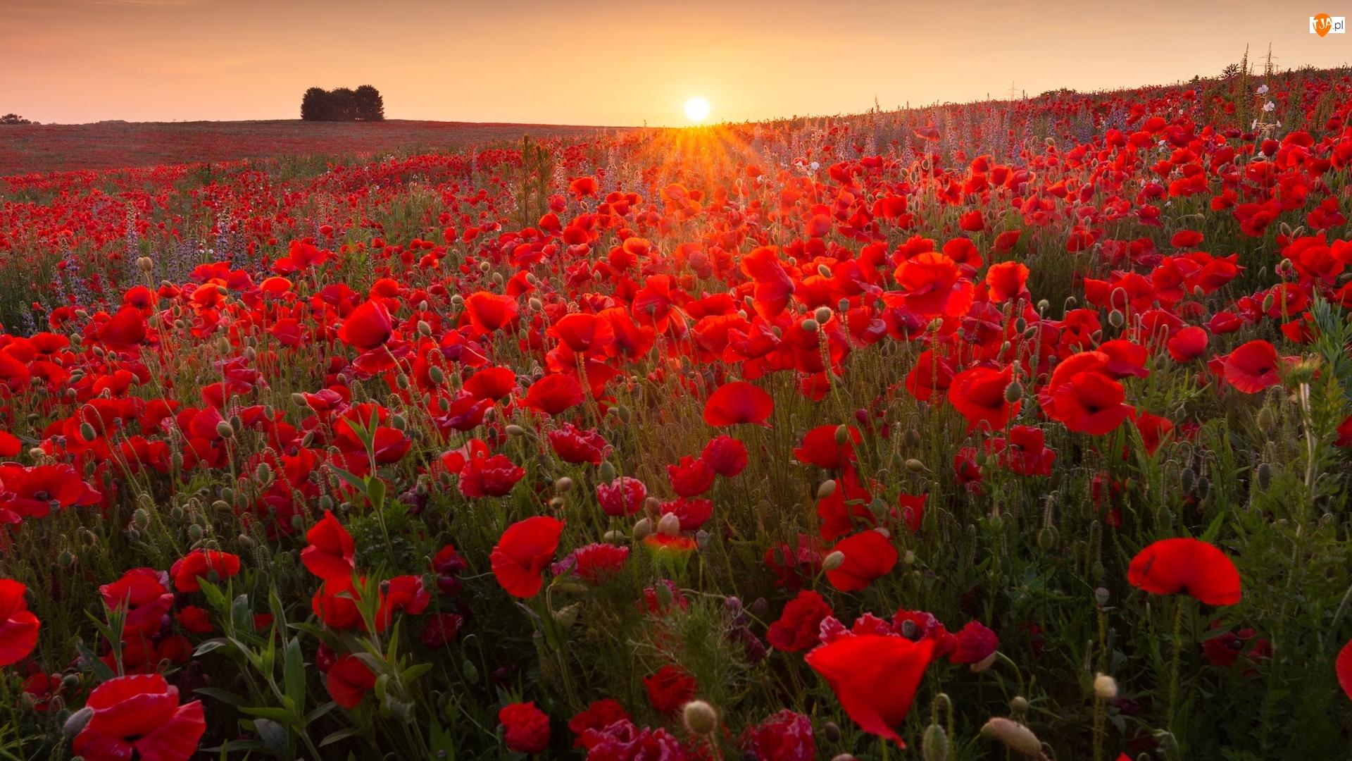 Maki, Wschód słońca, Łąka, Kwiaty