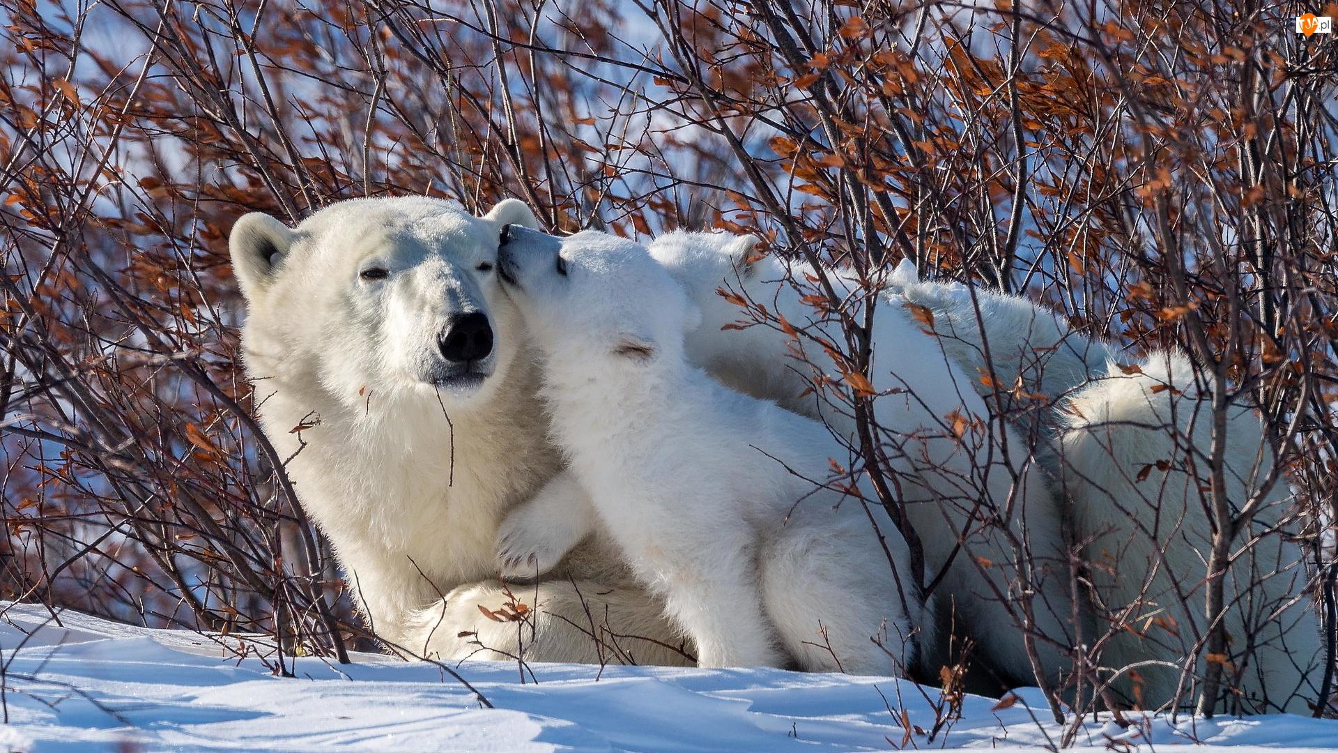 Niedźwiedzie polarne, Dwa, Niedźwiadek, Gałęzie, Mały, Krzewy