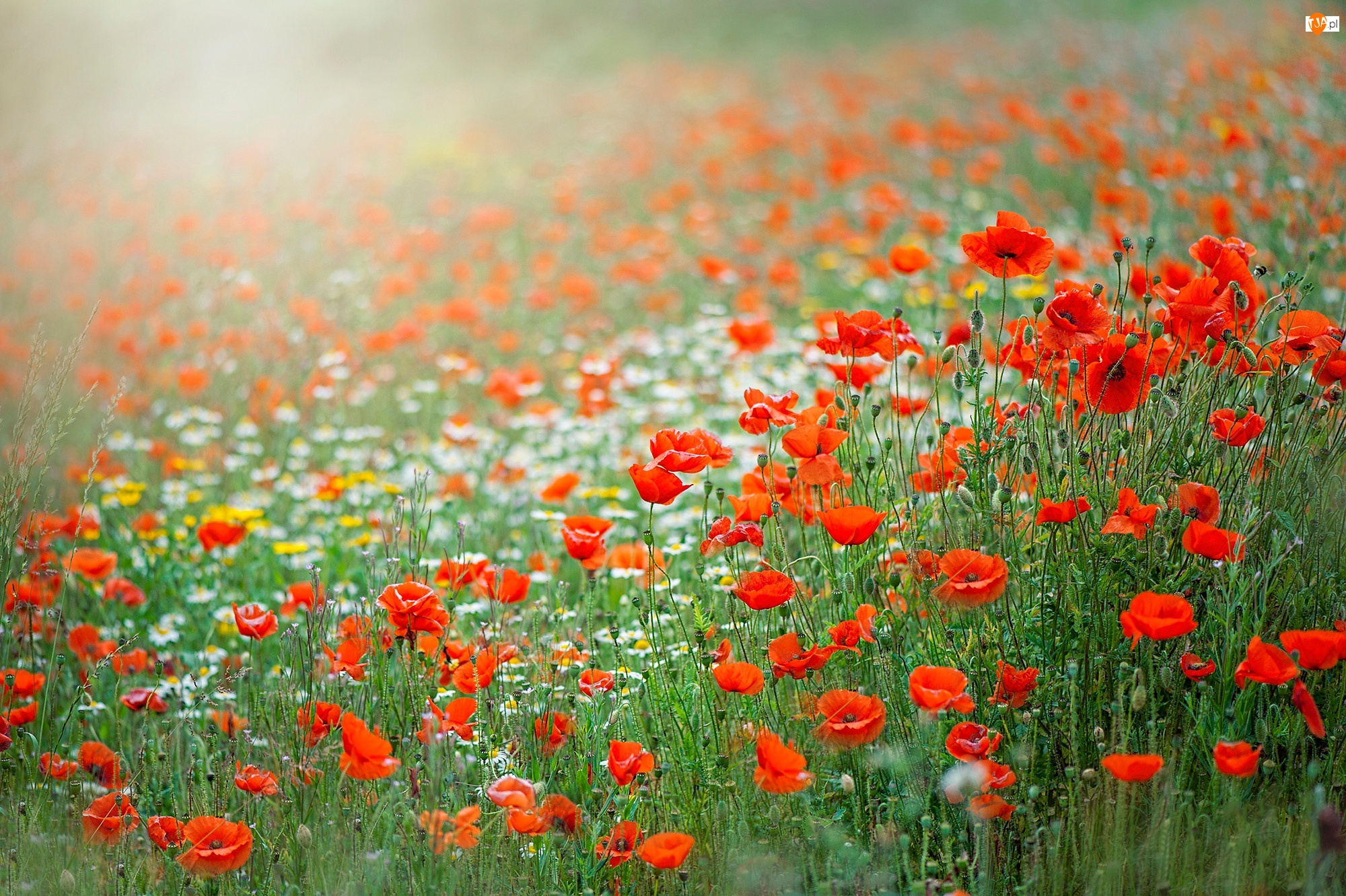 Łąka, Kwiaty, Czerwone, Maki