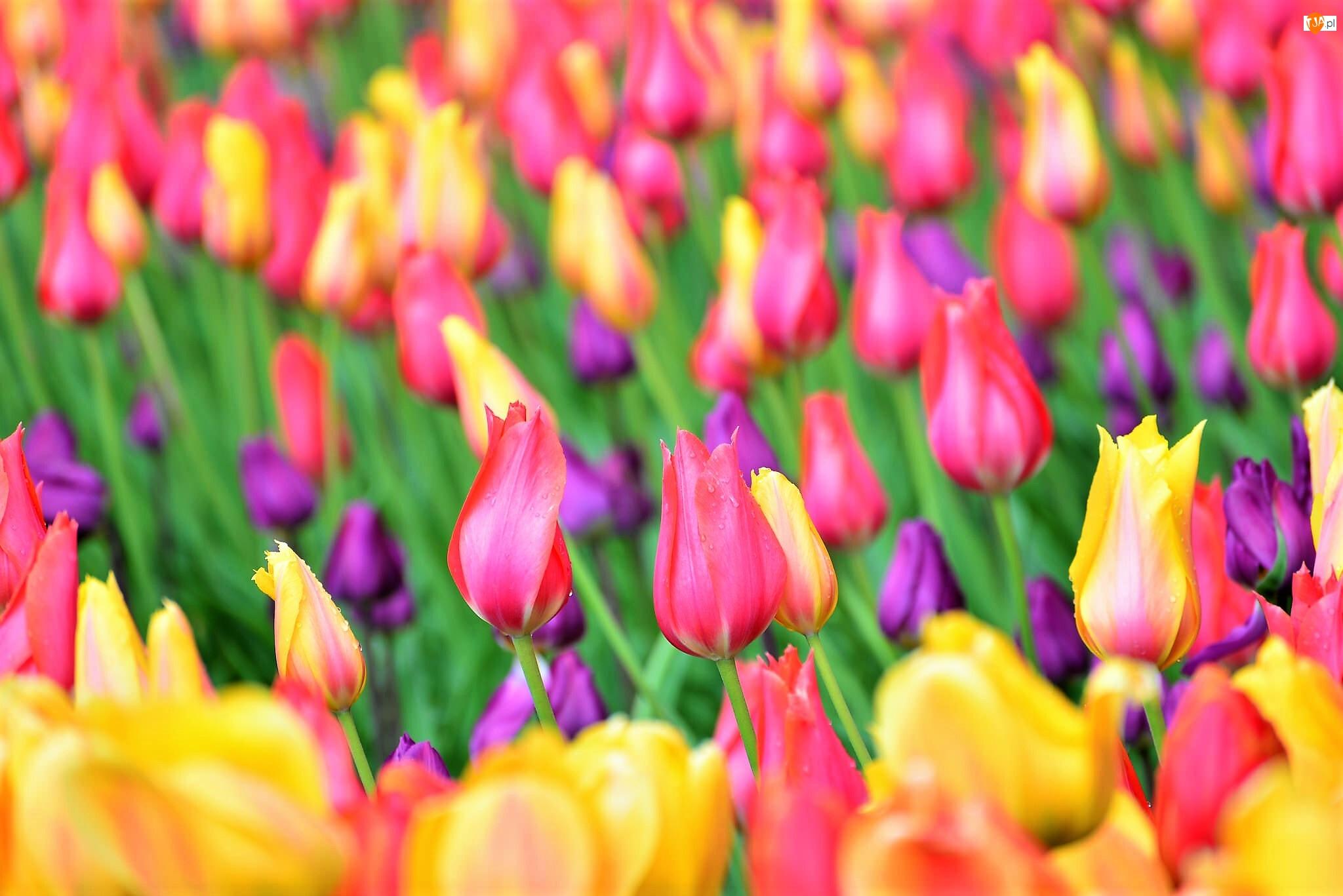 Kolorowe, Pole, Tulipany