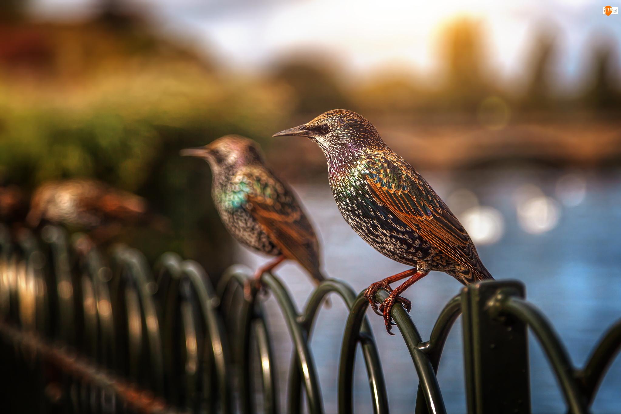 Płot, Ptaki, Szpak