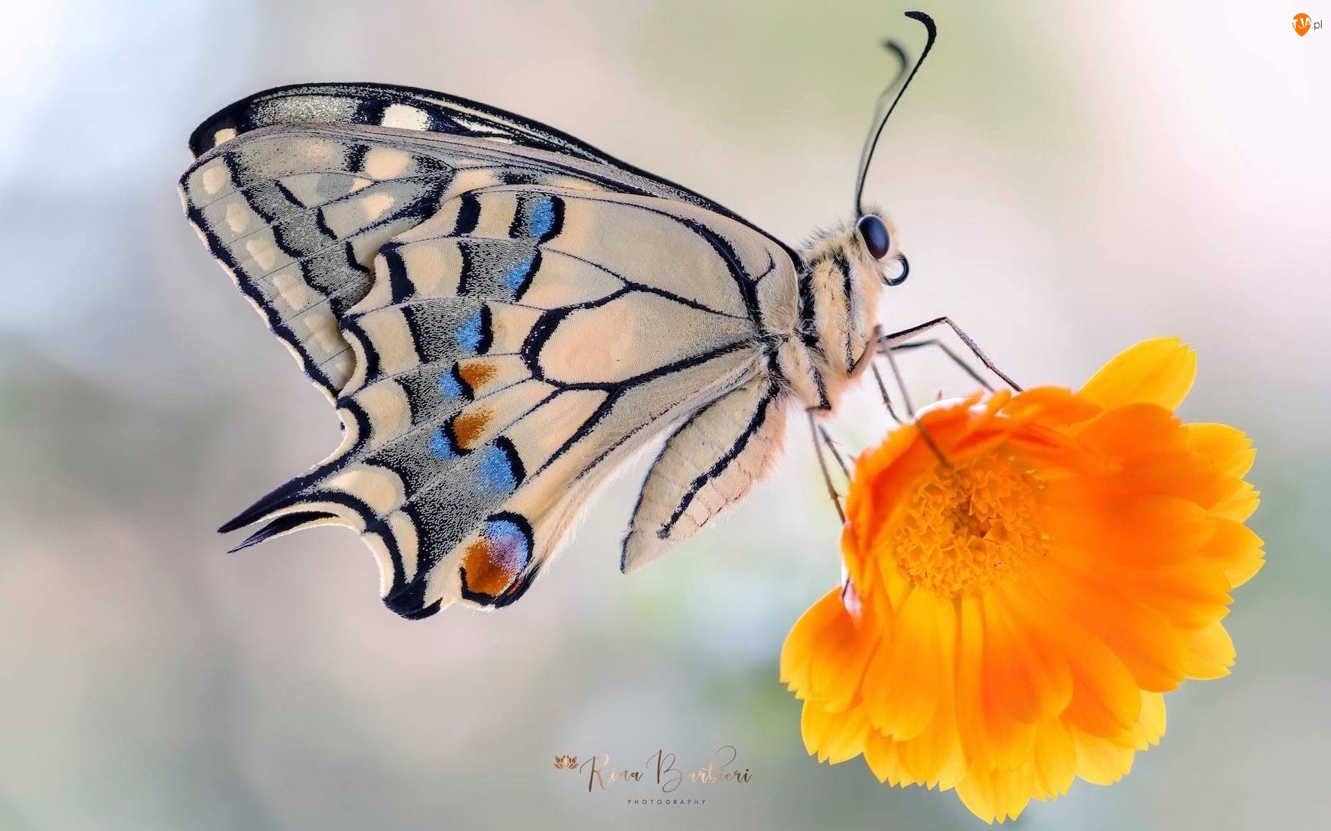 Makro, Motyl, Paź królowej, Kwiat