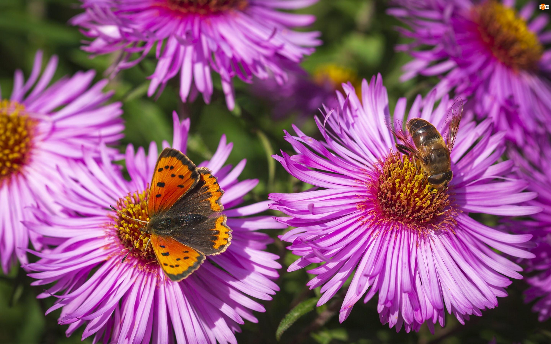 Motyl, Fioletowe, Astry, Pszczoła