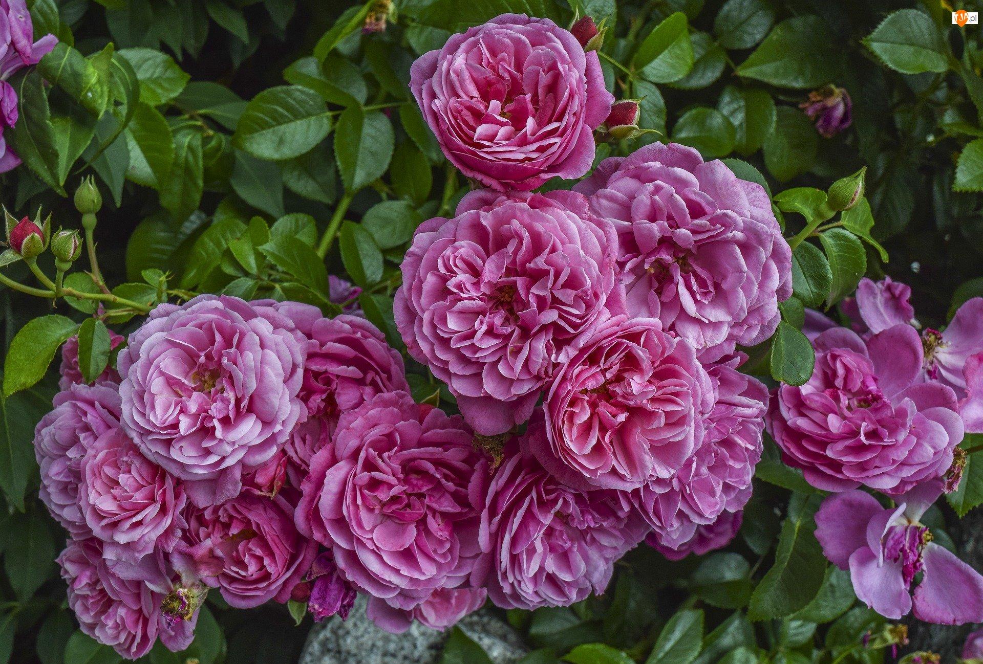 Róże, Kwiaty, Rozwinięte, Różowe