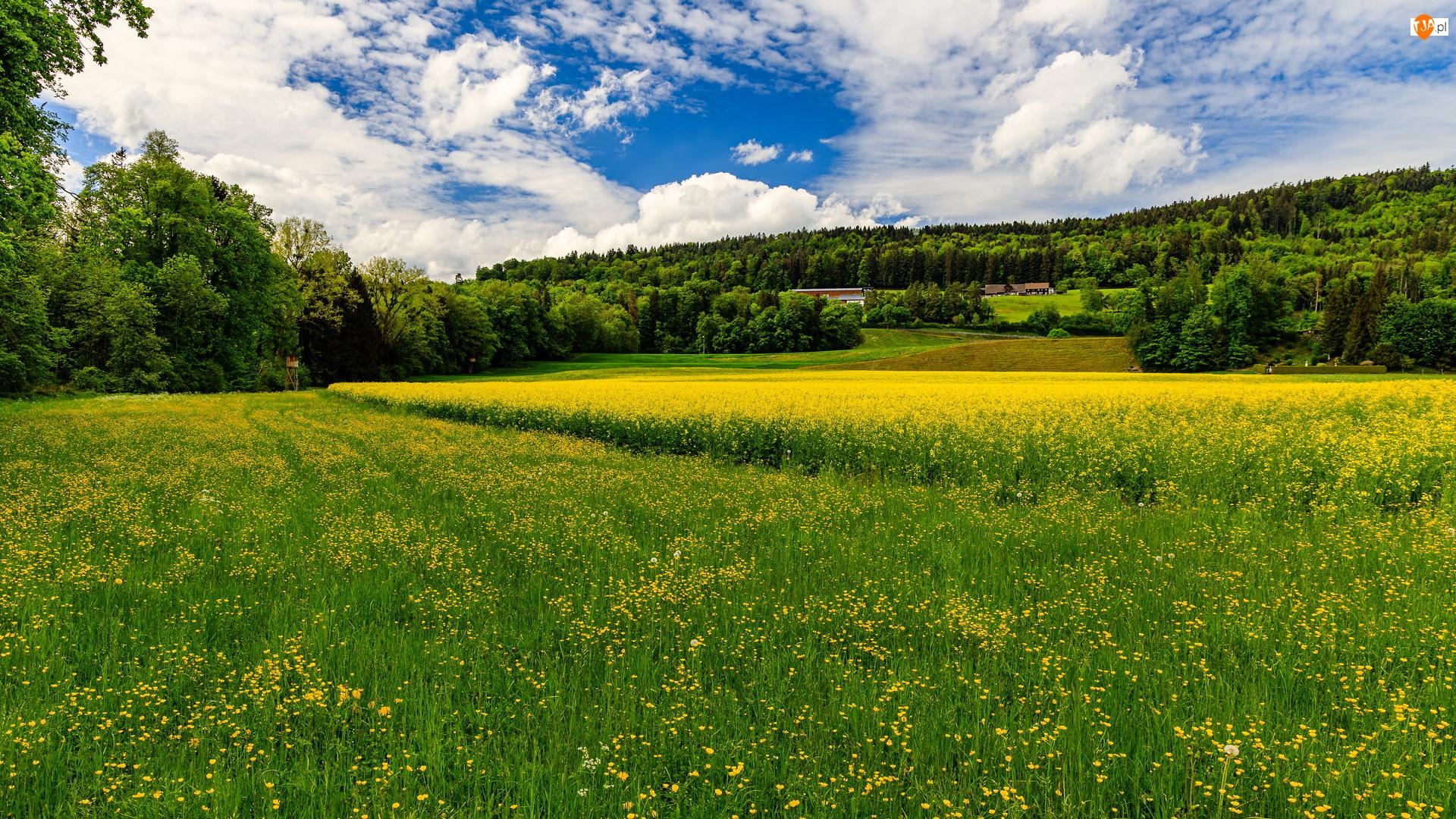 Łąka, Żółte, Drzewa, Wiosna, Rzepak, Pole, Kwiaty
