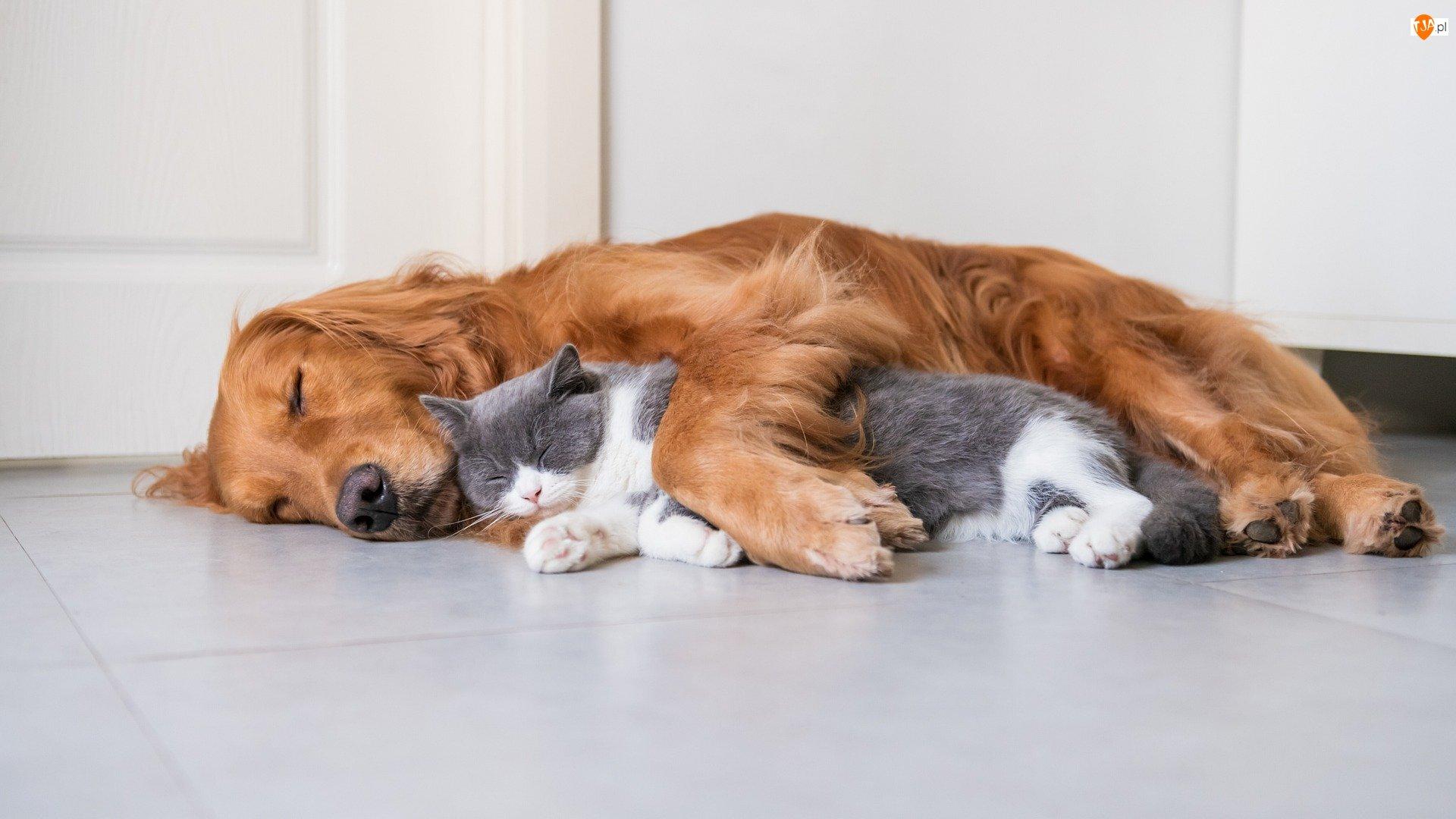 Pies, Podłoga, Rudy, Śpiący, Kot